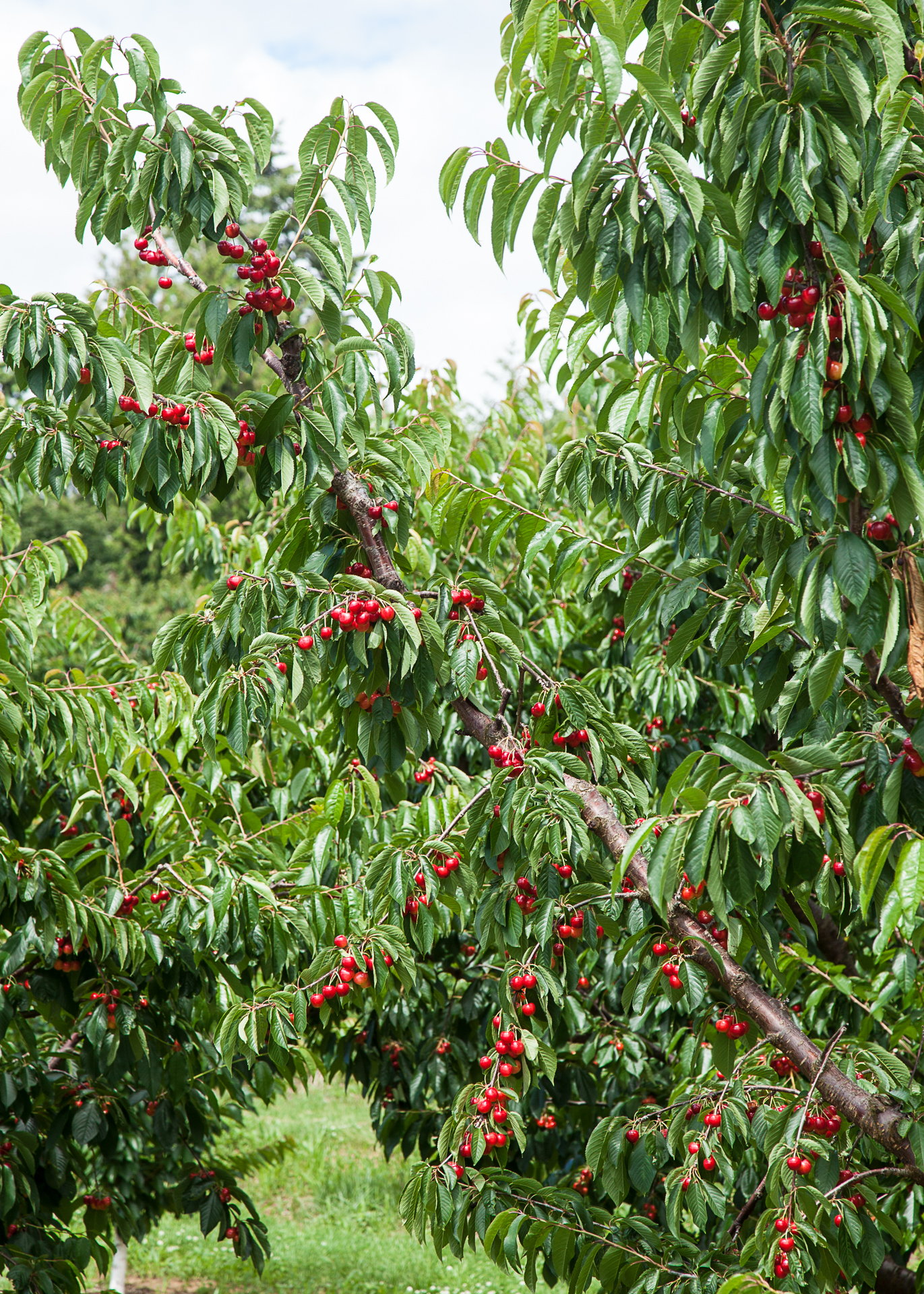 A cherry tree, loaded with fruit.