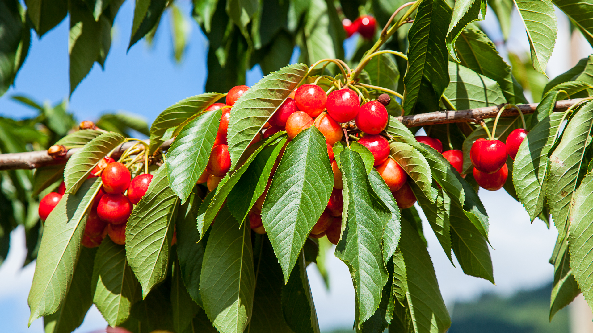 The farm had lots of cherry trees, including these Rainier cherries.