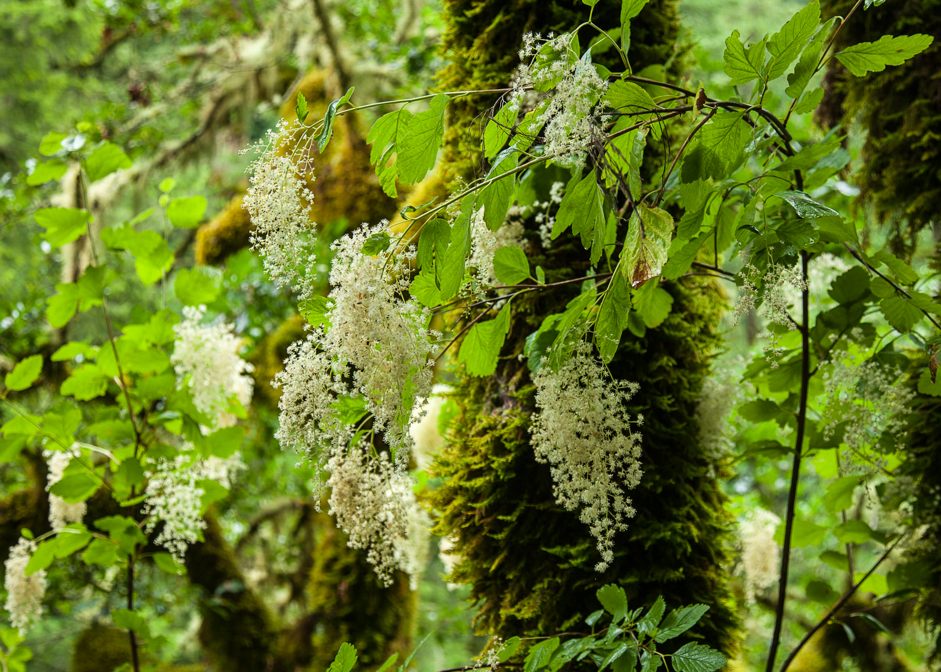 Flowers on the vines that grow on the mossy trees i the undergrowth.