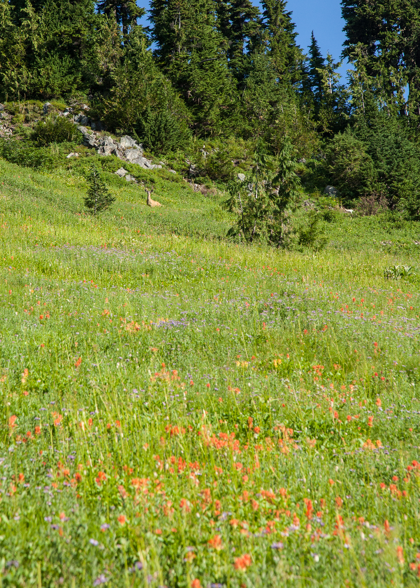 Along the path, we saw many deer, including this one in a full meadow of wildflowers.