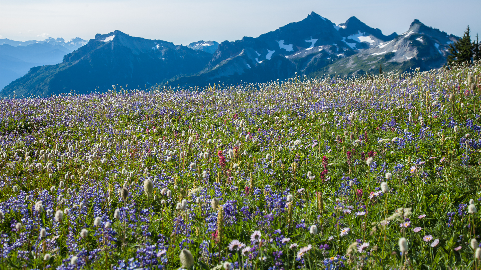 A full meadow of wildflowers, looking out to the local mountain range.