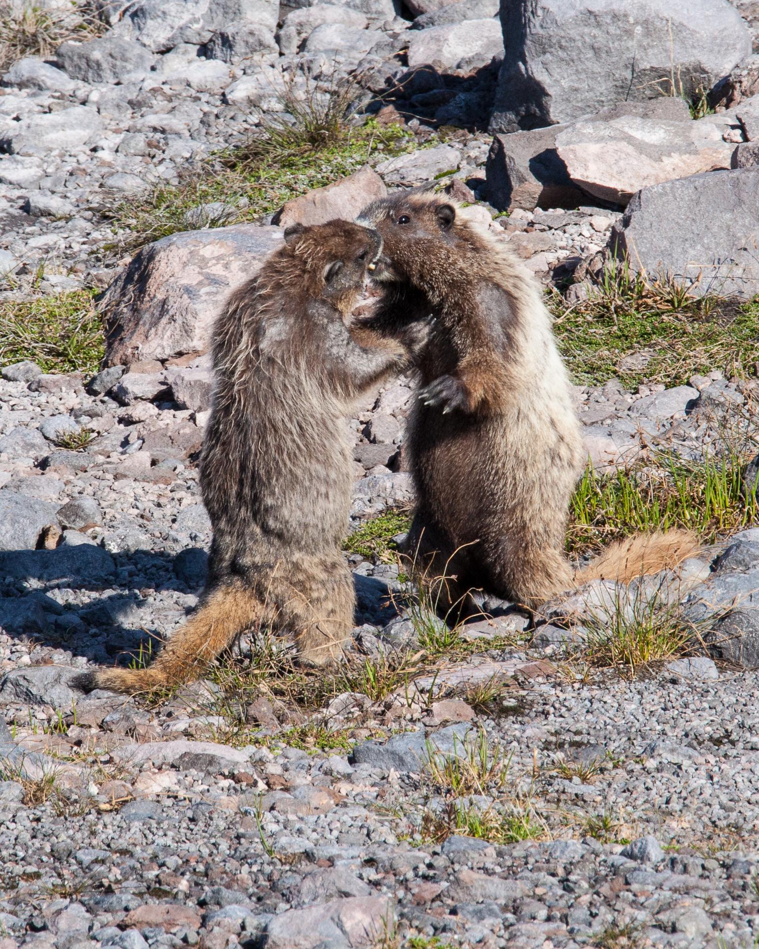 Boxing Marmots!