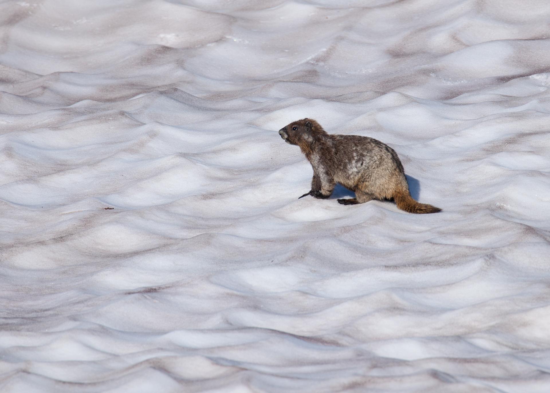 Snow marmot.