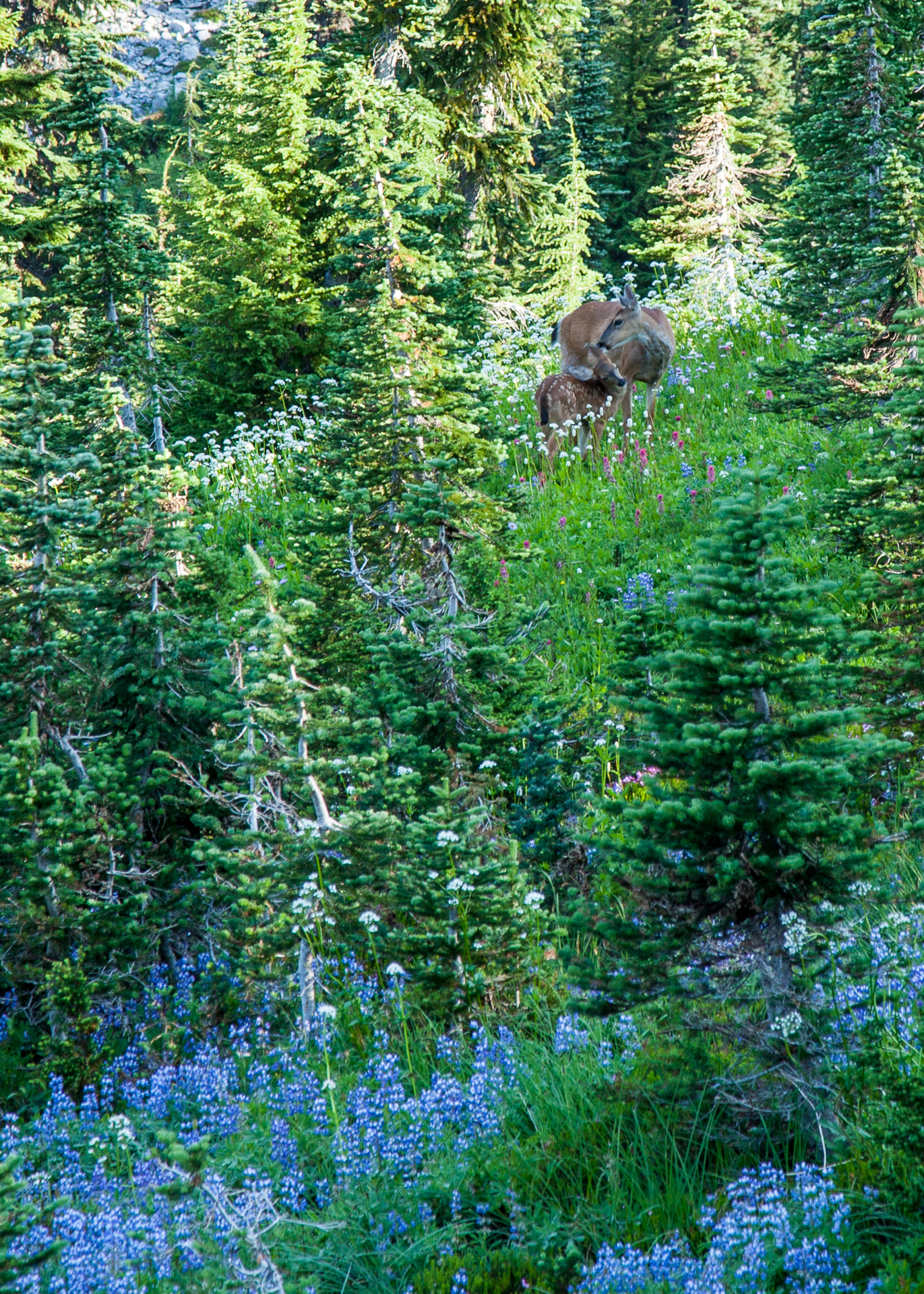 A doe and her fawn in a mountain meadow.
