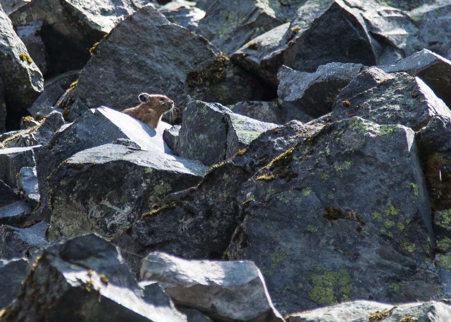 Our one good view of a pika on our hikes. Cute little guys.