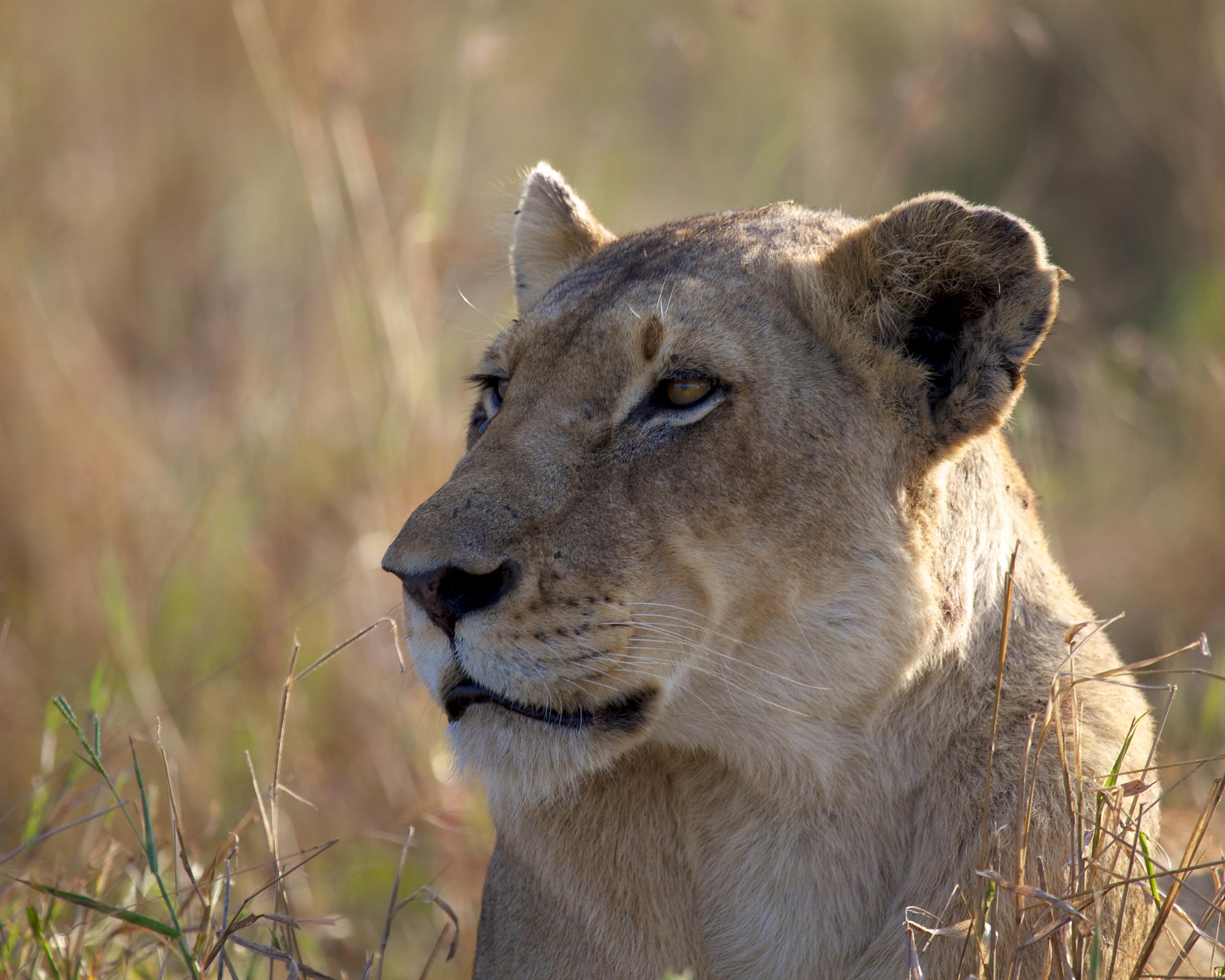 The+Lioness-2207507082-O.jpg