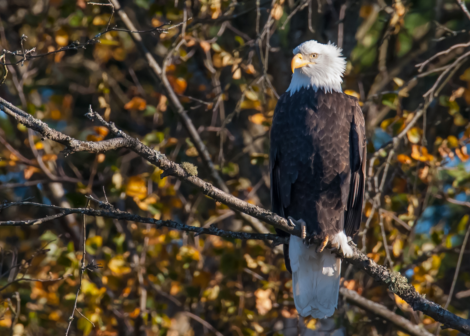 A bald eagle, in the tree right near the front entrance.