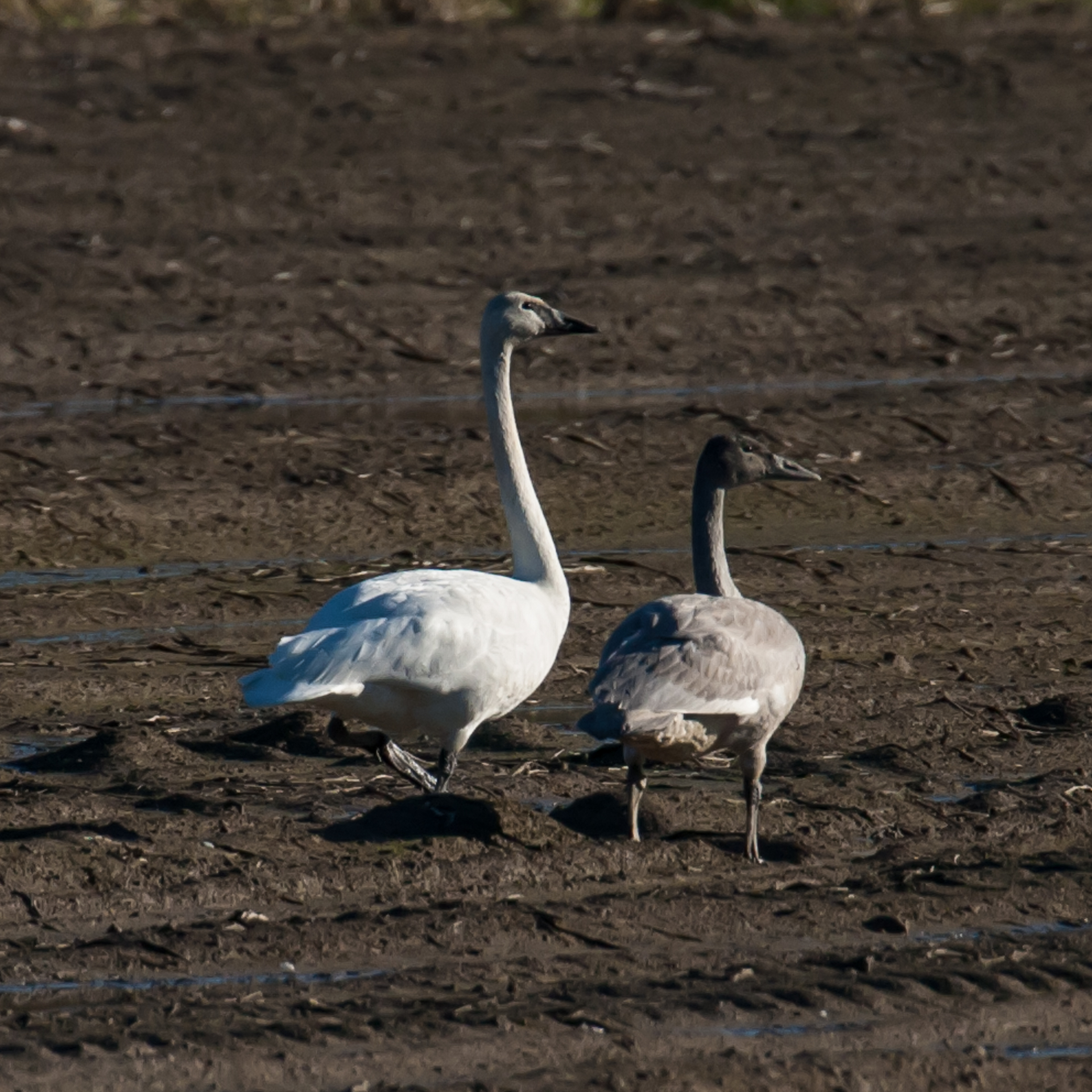 There were a number of trumpeter swans in the fields surrounding the sanctuary.