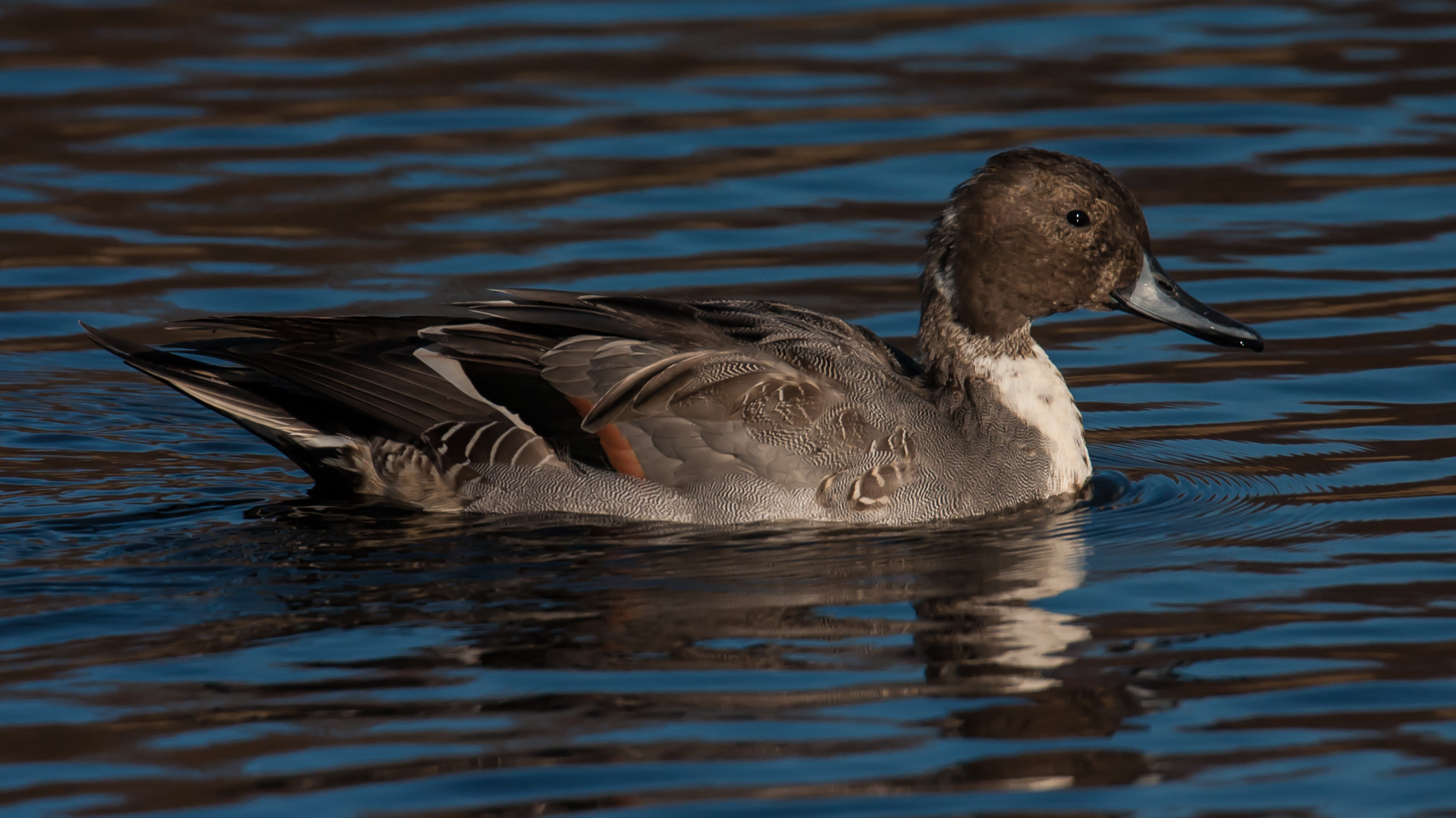 And my favourite of our ducks, the northern pintail.