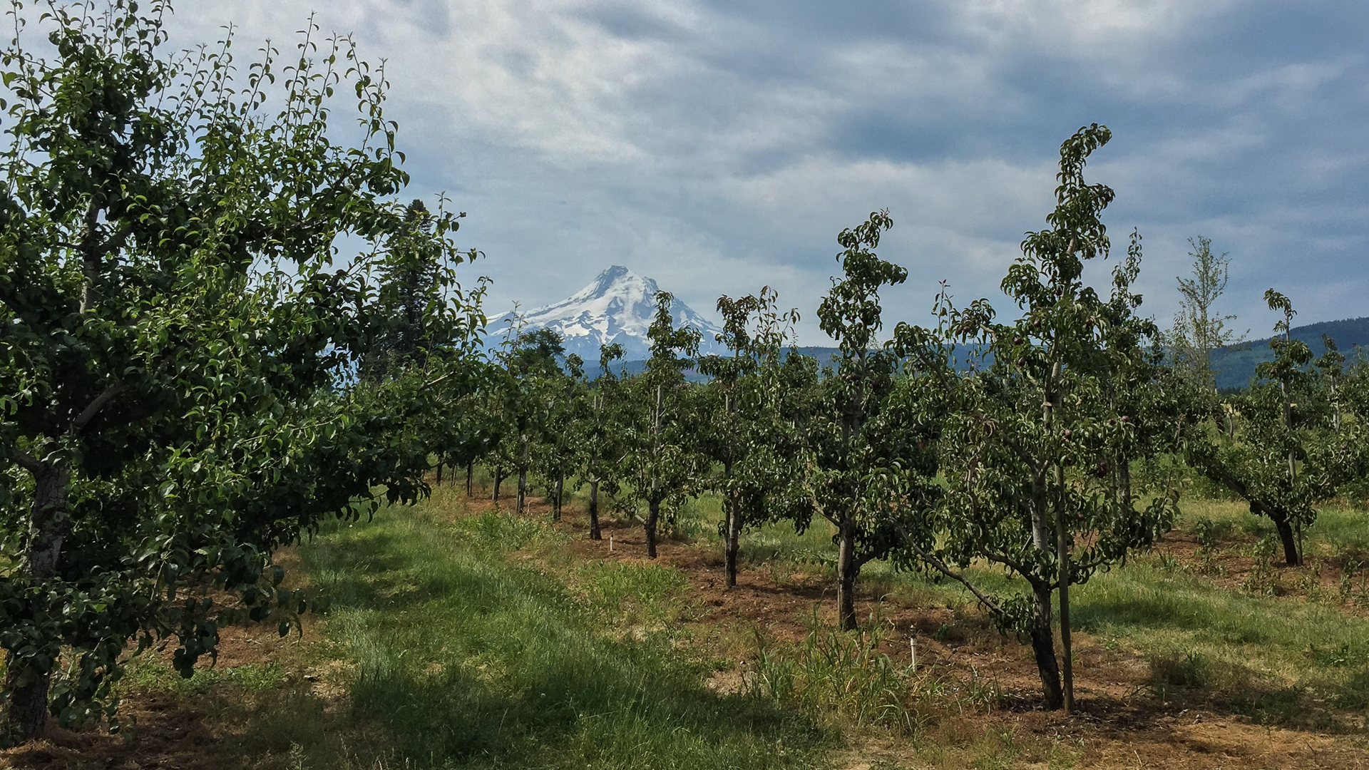 Local orchard, with Mount Hood in the background.