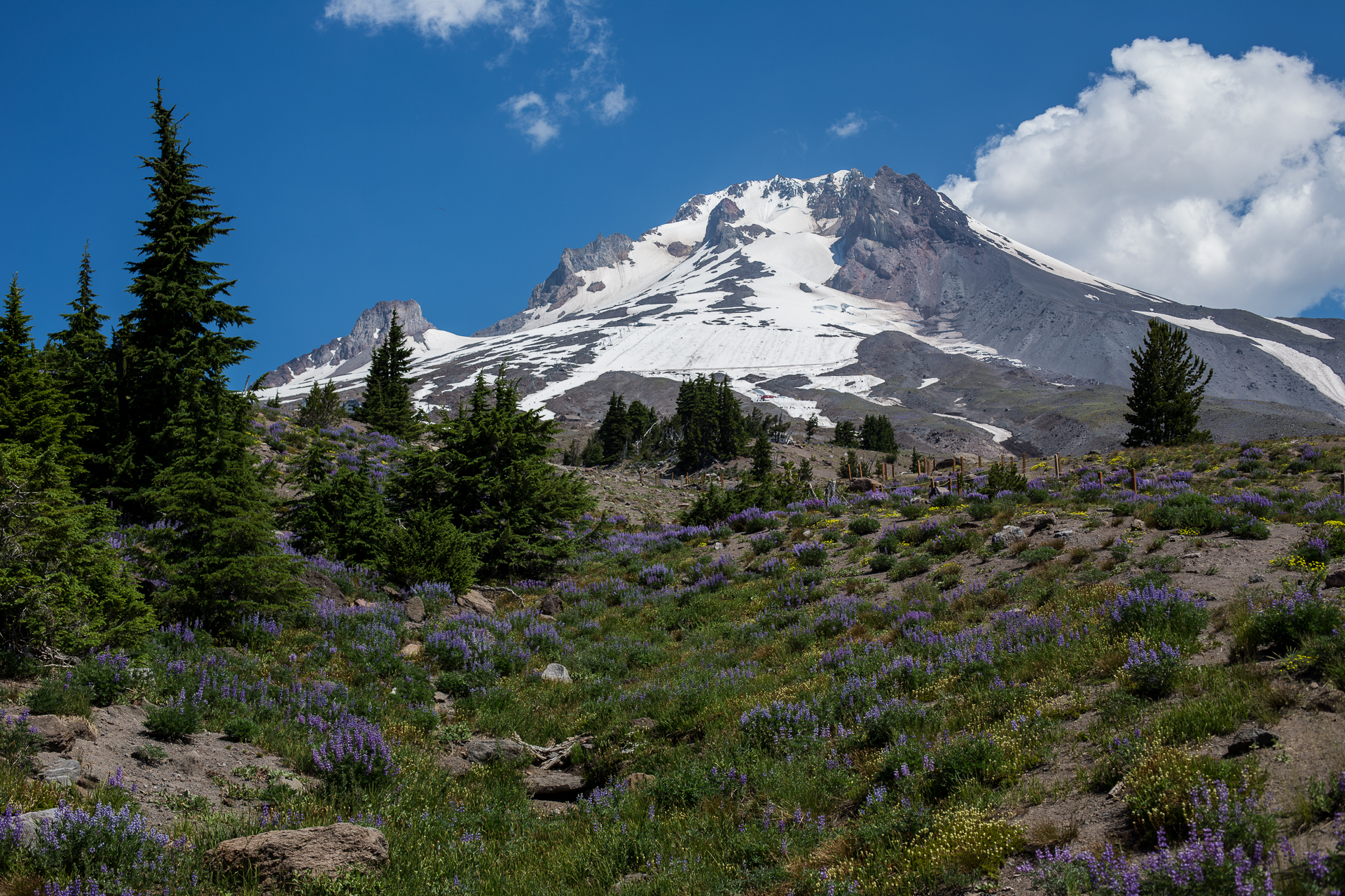 Lots of flowers, as Mount Hood dominates the view.