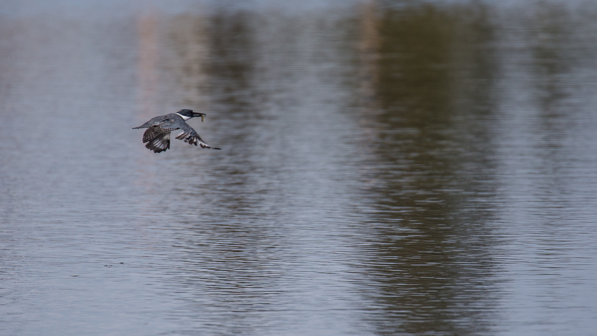 Kingfisher in flight with his breakfast.