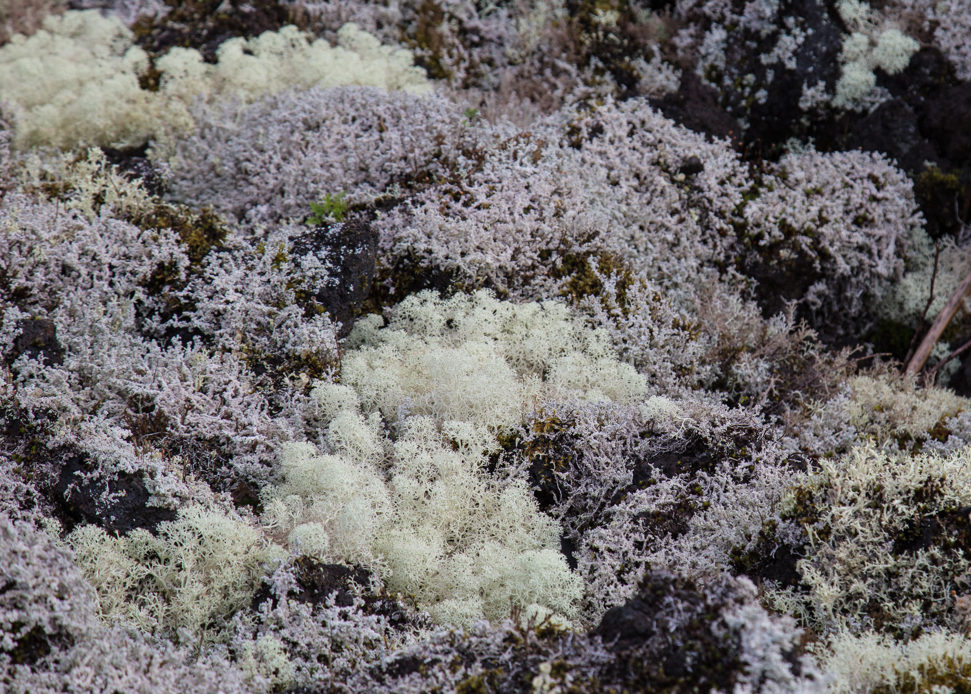 Lichen, growing on the lava near Vetter Falls.