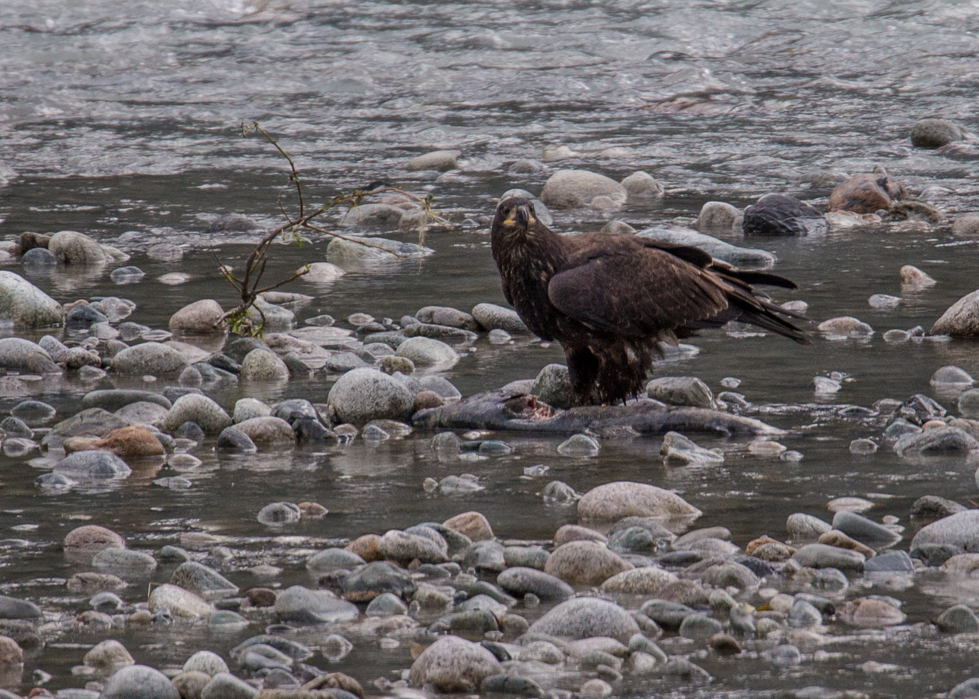 Golden Eagle with a salmon.