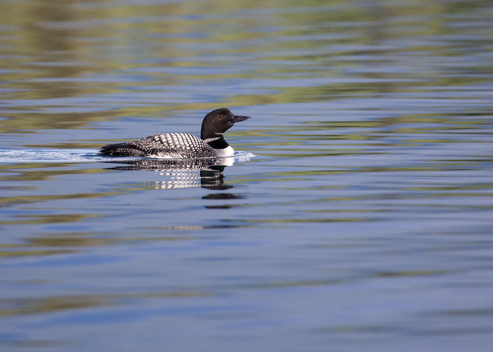 Common loon on Boya Lake.