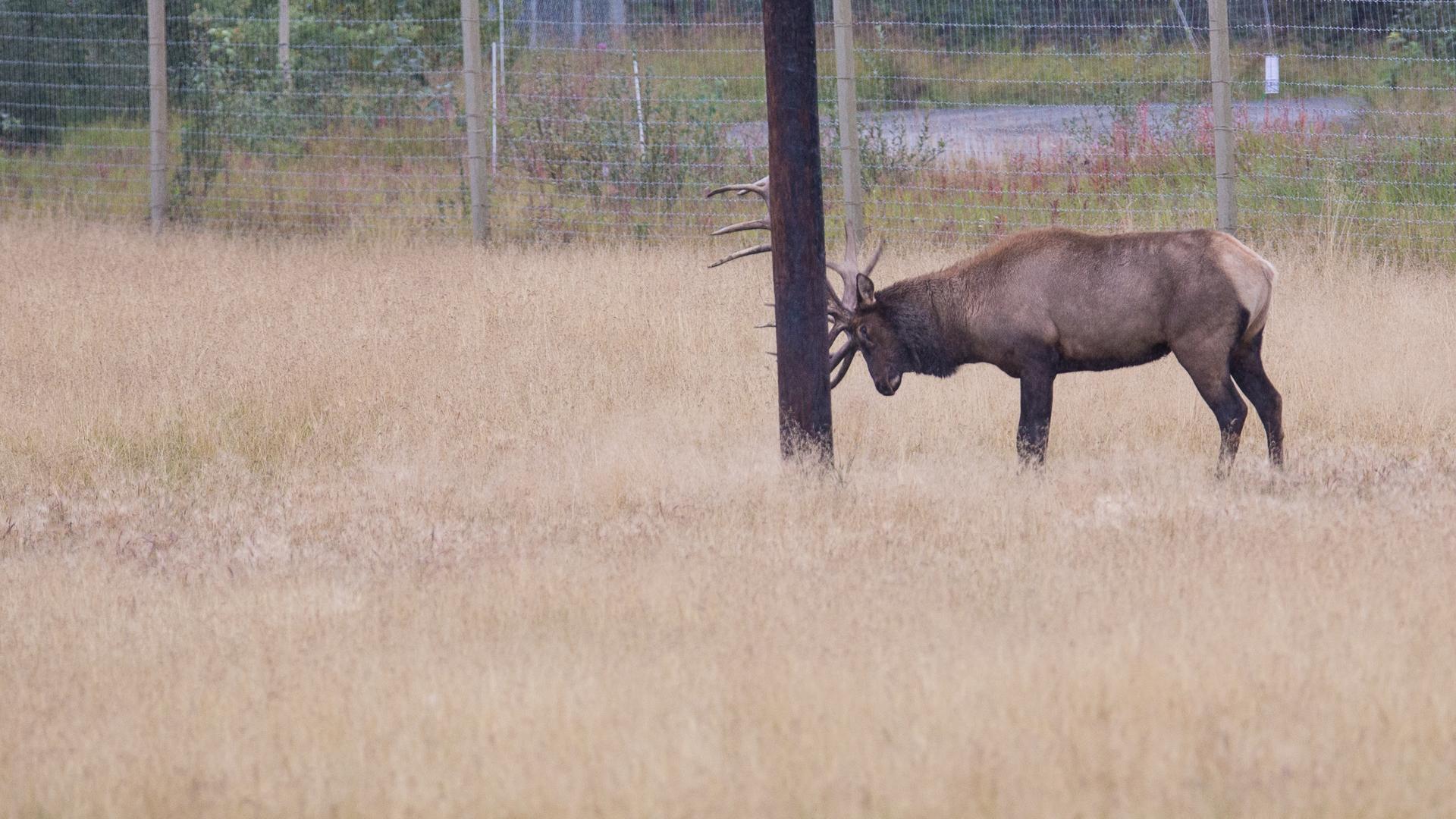 A bull elk getting ready for the fall rut.