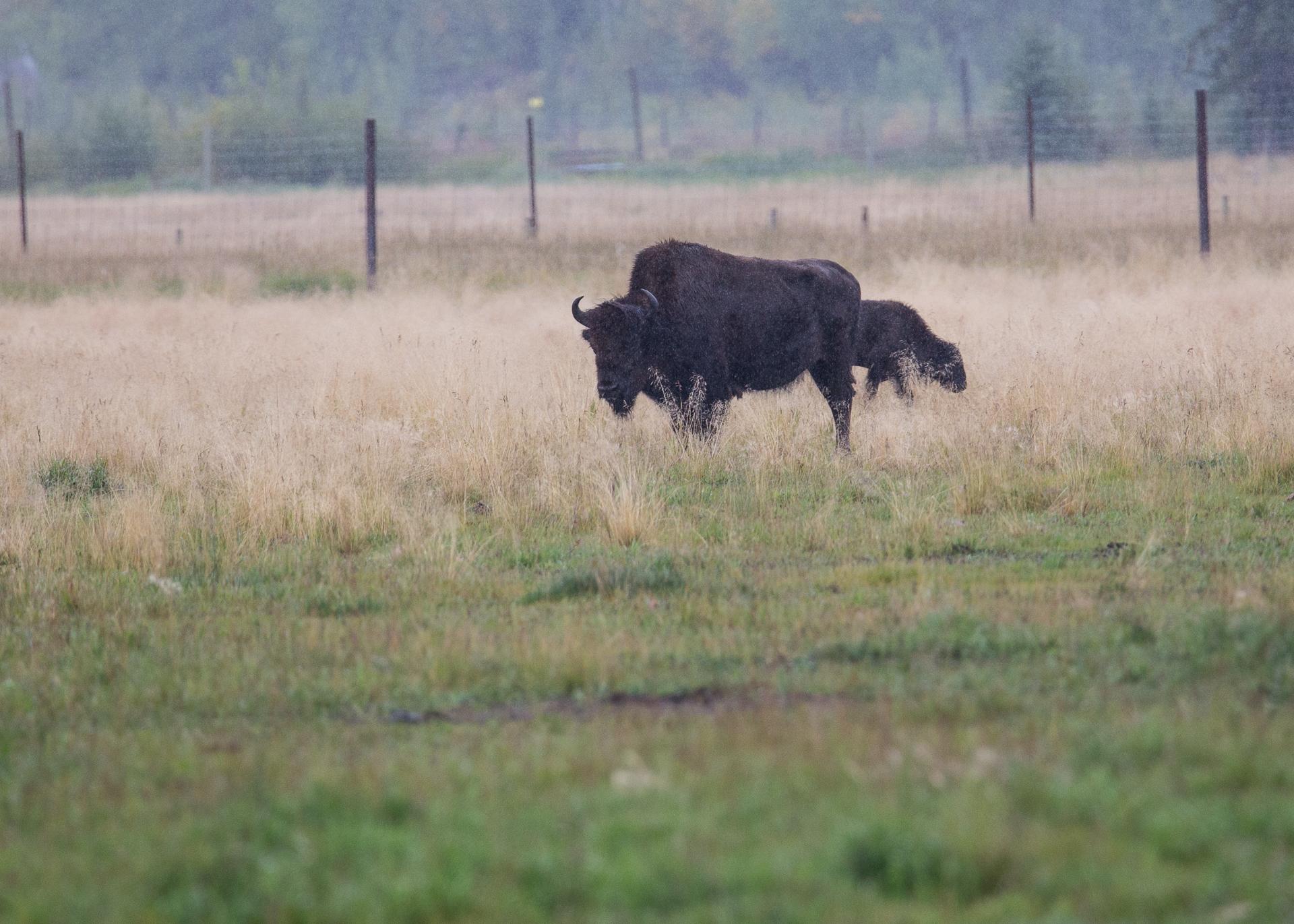 Part of the herd of bison.