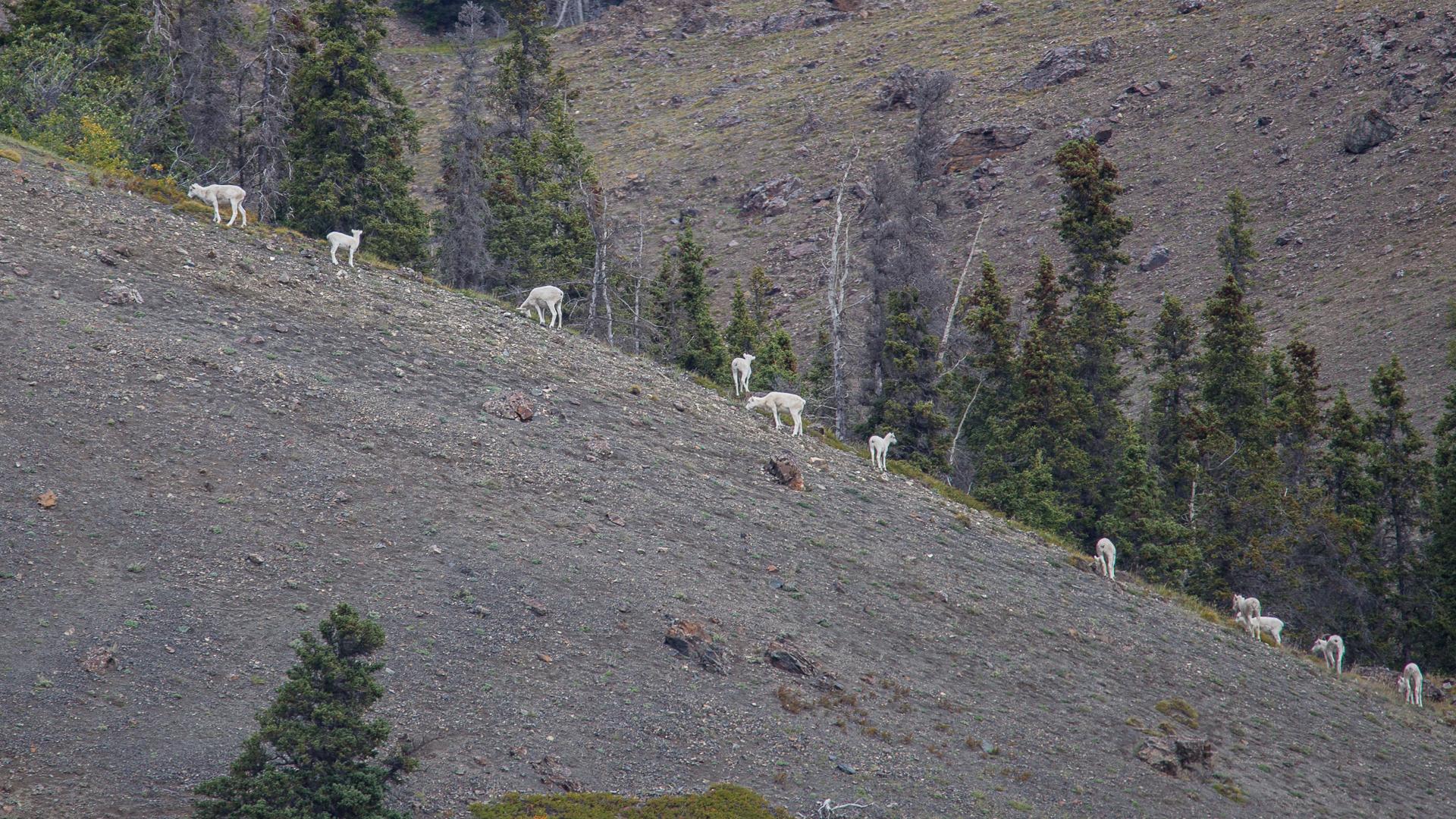 Dall Sheep, on Sheep Mountain