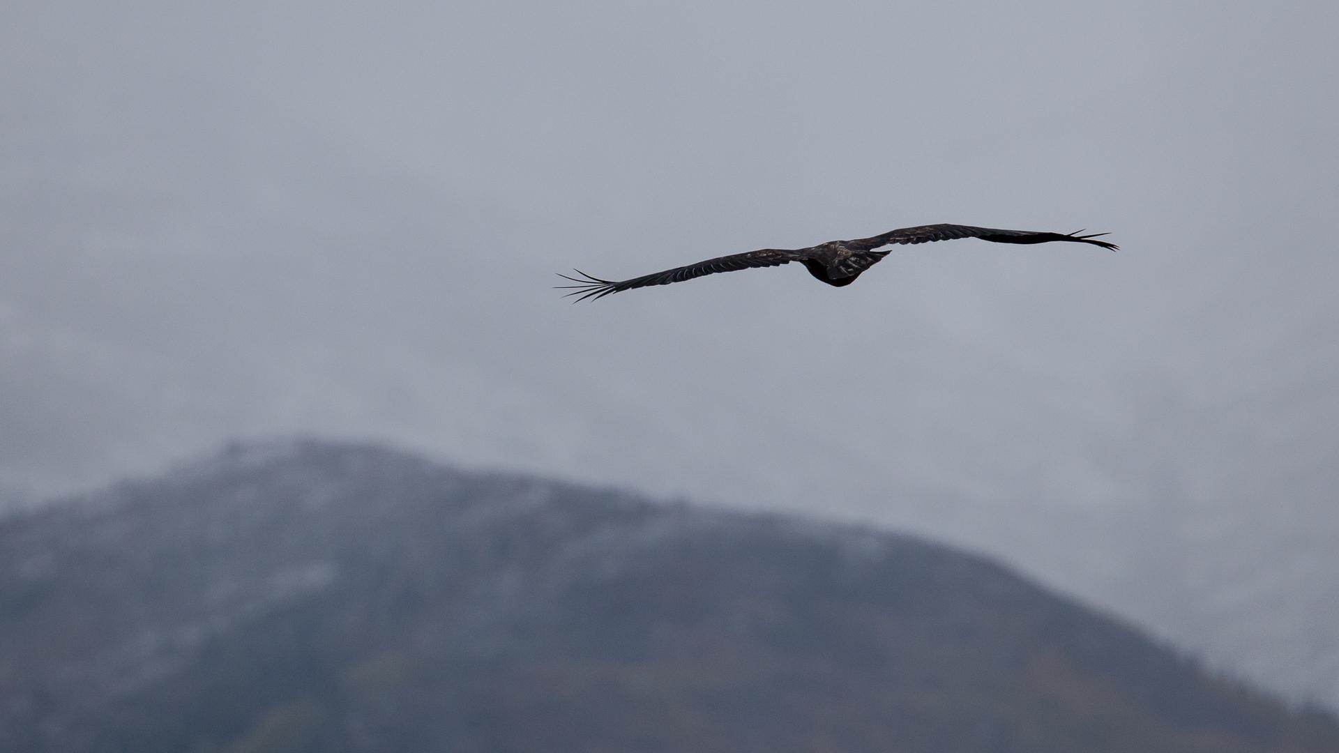 Golden eagle, soaring away.