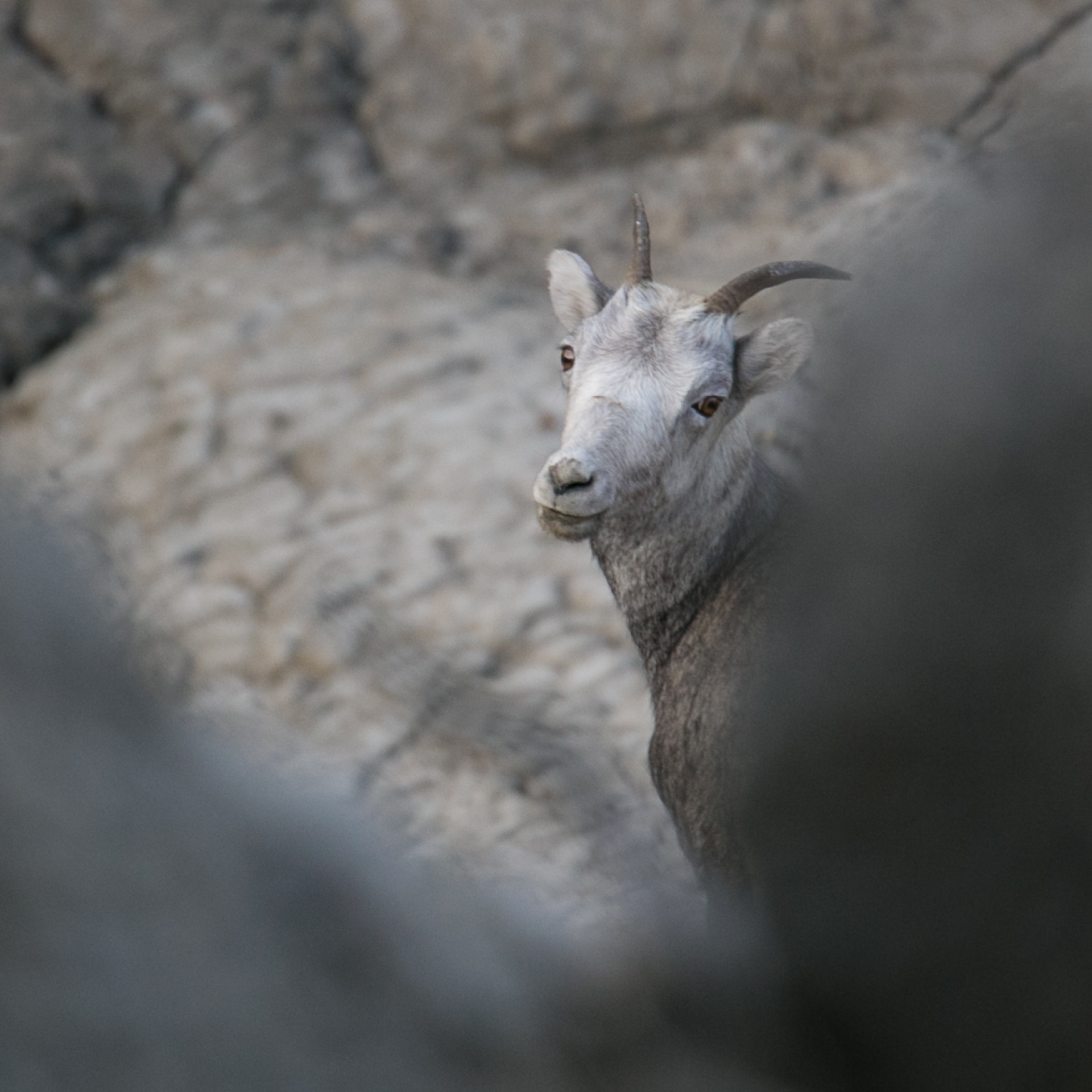 The occasional view of the thinhorn sheep at the bottom of the cliff.