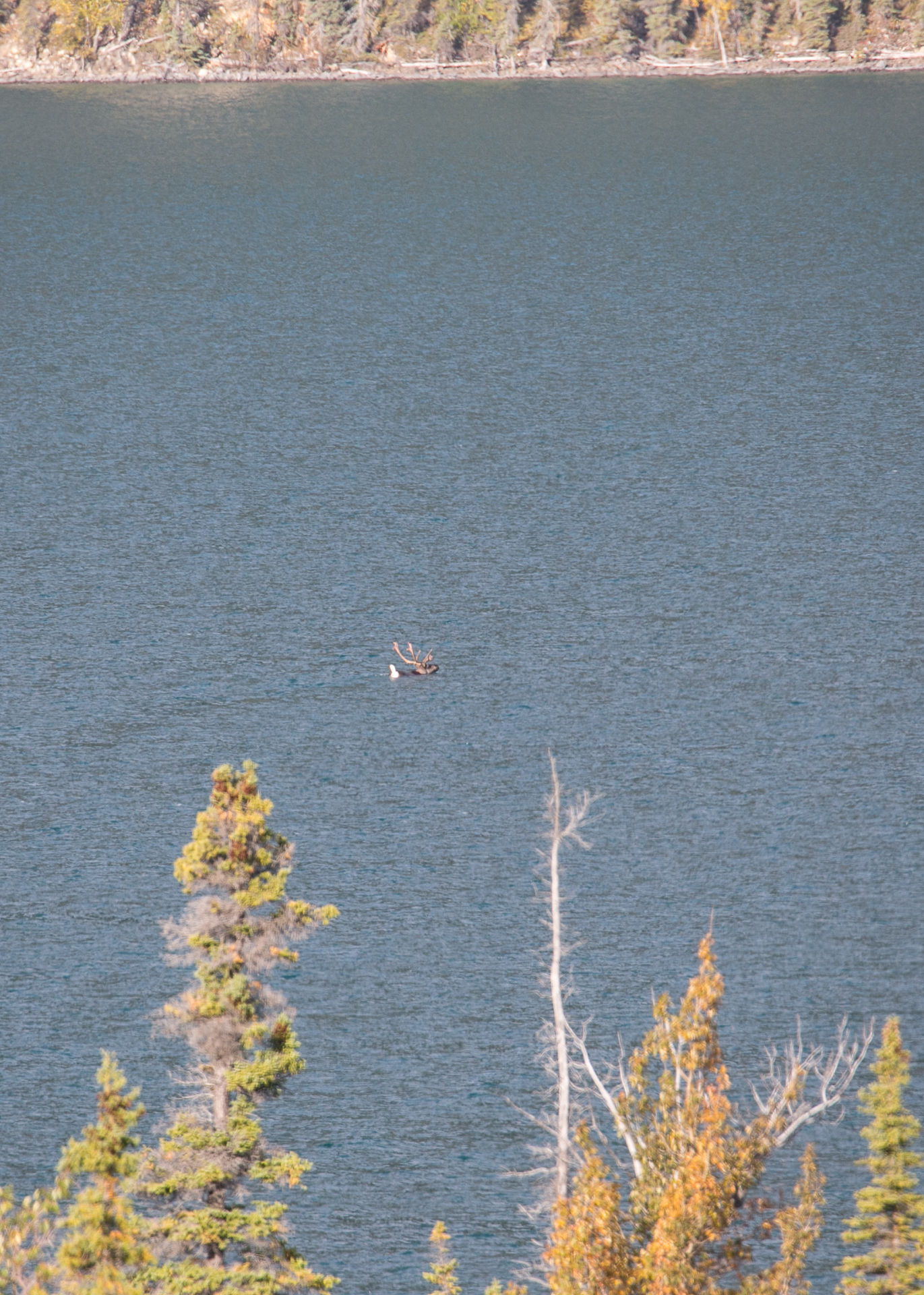 From a distance, it was hard to tell what was swimming across the very big lake.