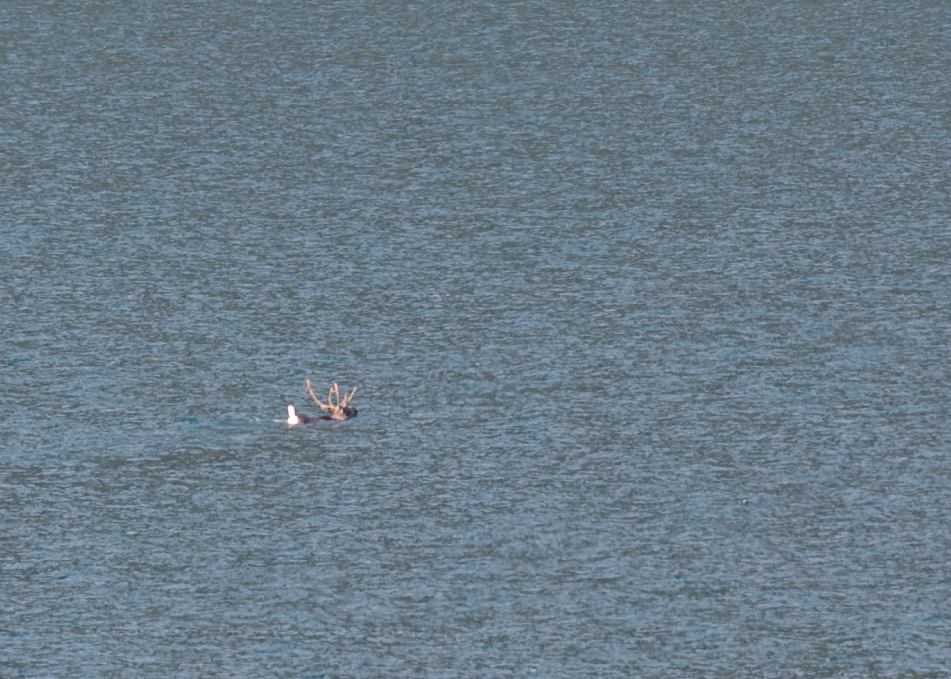 Poor quality photo, but a closer look at our swimming caribou.