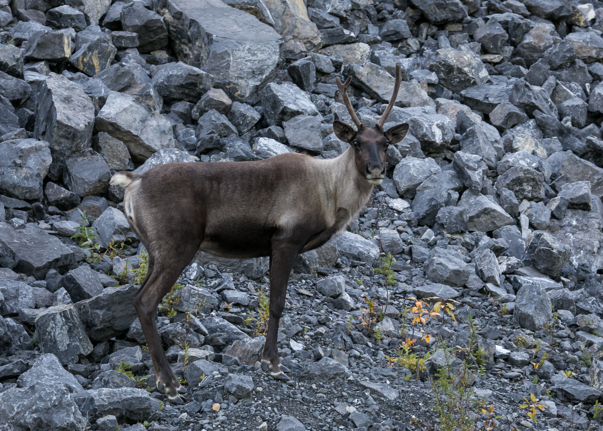 Caribou, checking us out.