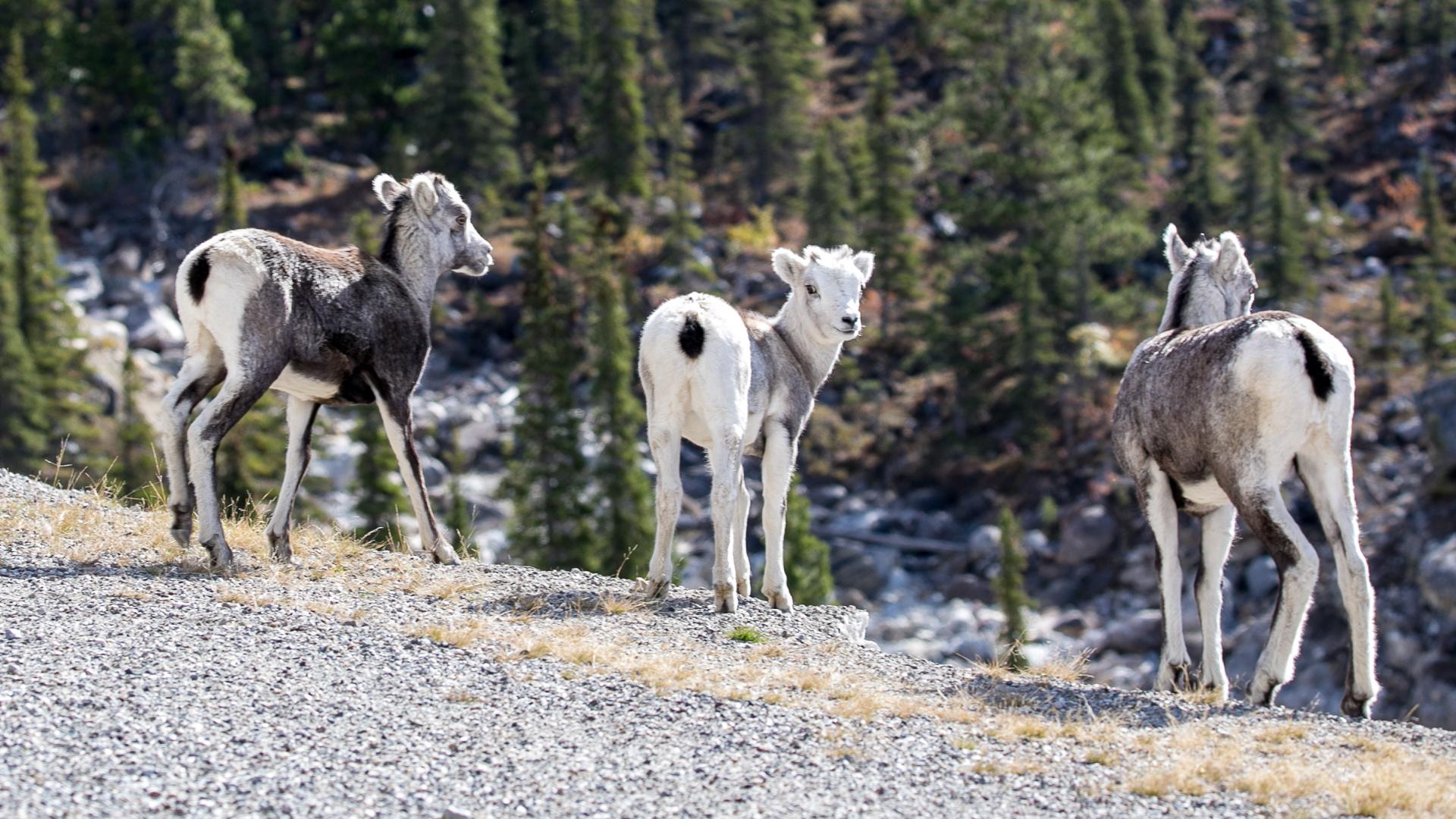 A small herd of thinhorn sheep.