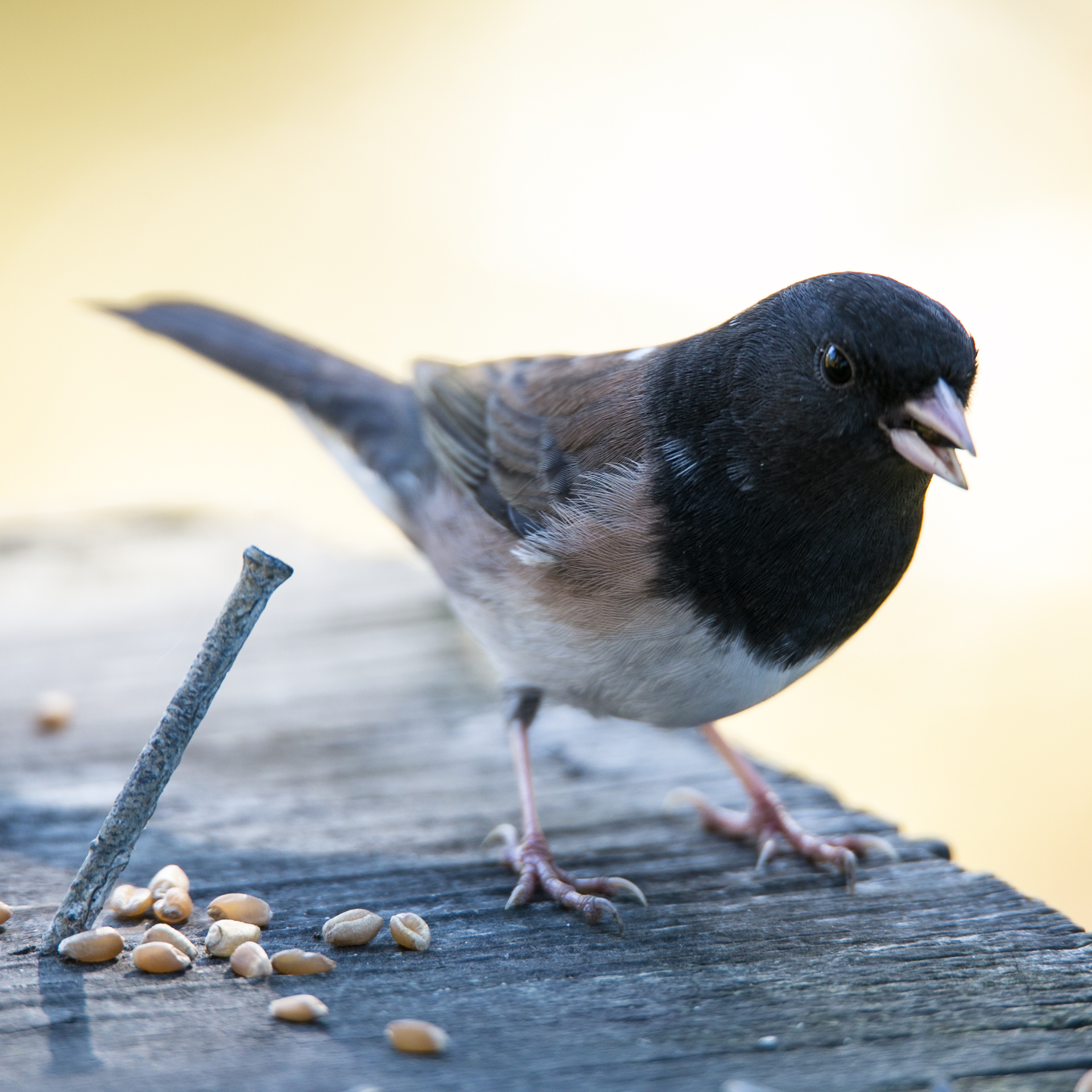 Quite unusually, the junco was sticking around to have his picture taken.