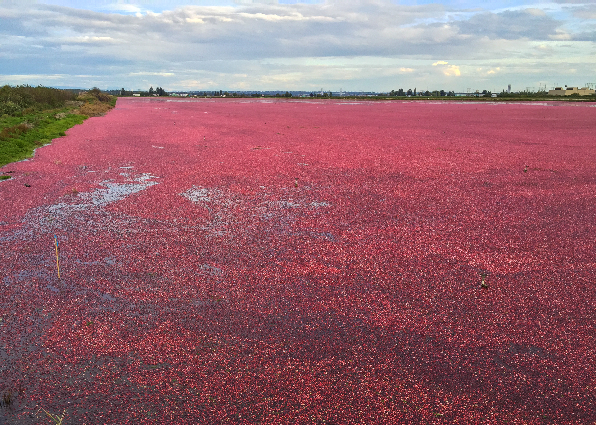 As you may or may not know, they grow a lot of cranberries around Vancouver. I was riding home from work the other week, and noticed that they were harvesting cranberries in one of the local fields. It's pretty interesting - they flood the field, the berries float and then they harvest them.