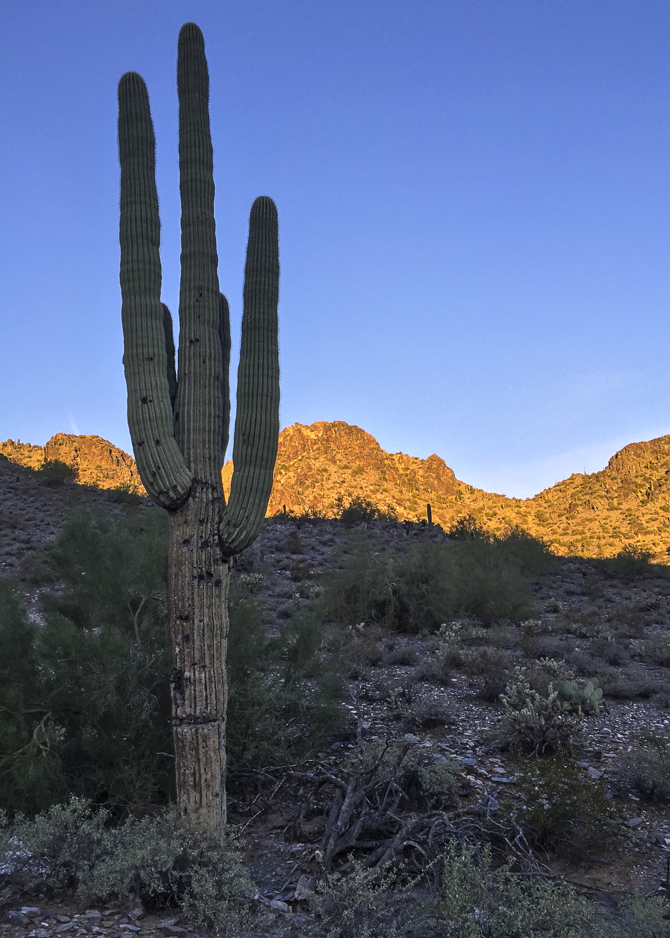 Saguaro cactus - pretty amazing to see them. The sun was still coming up.