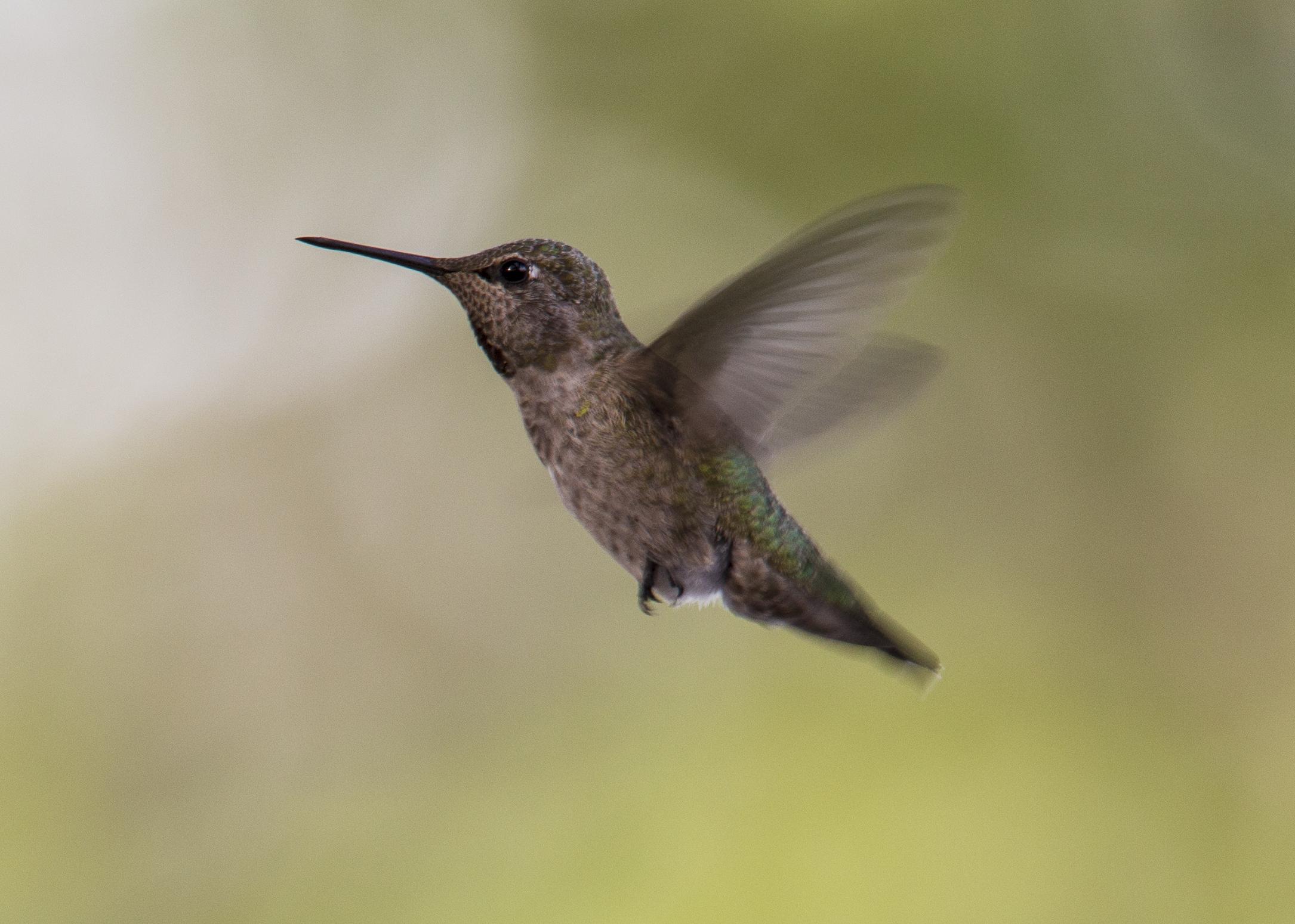 Female Anna's Hummingbird (Calypte anna)
