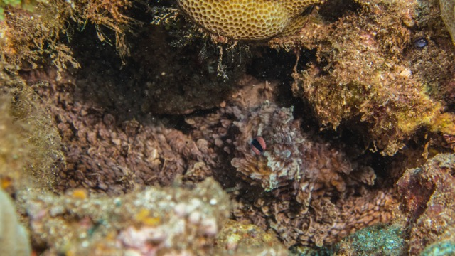An octopus, hiding in a crevice.