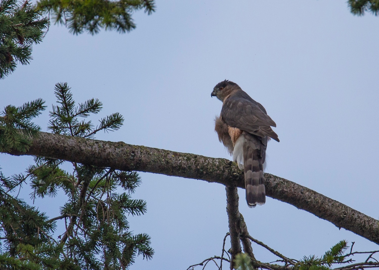 I think this is a Cooper's Hawk