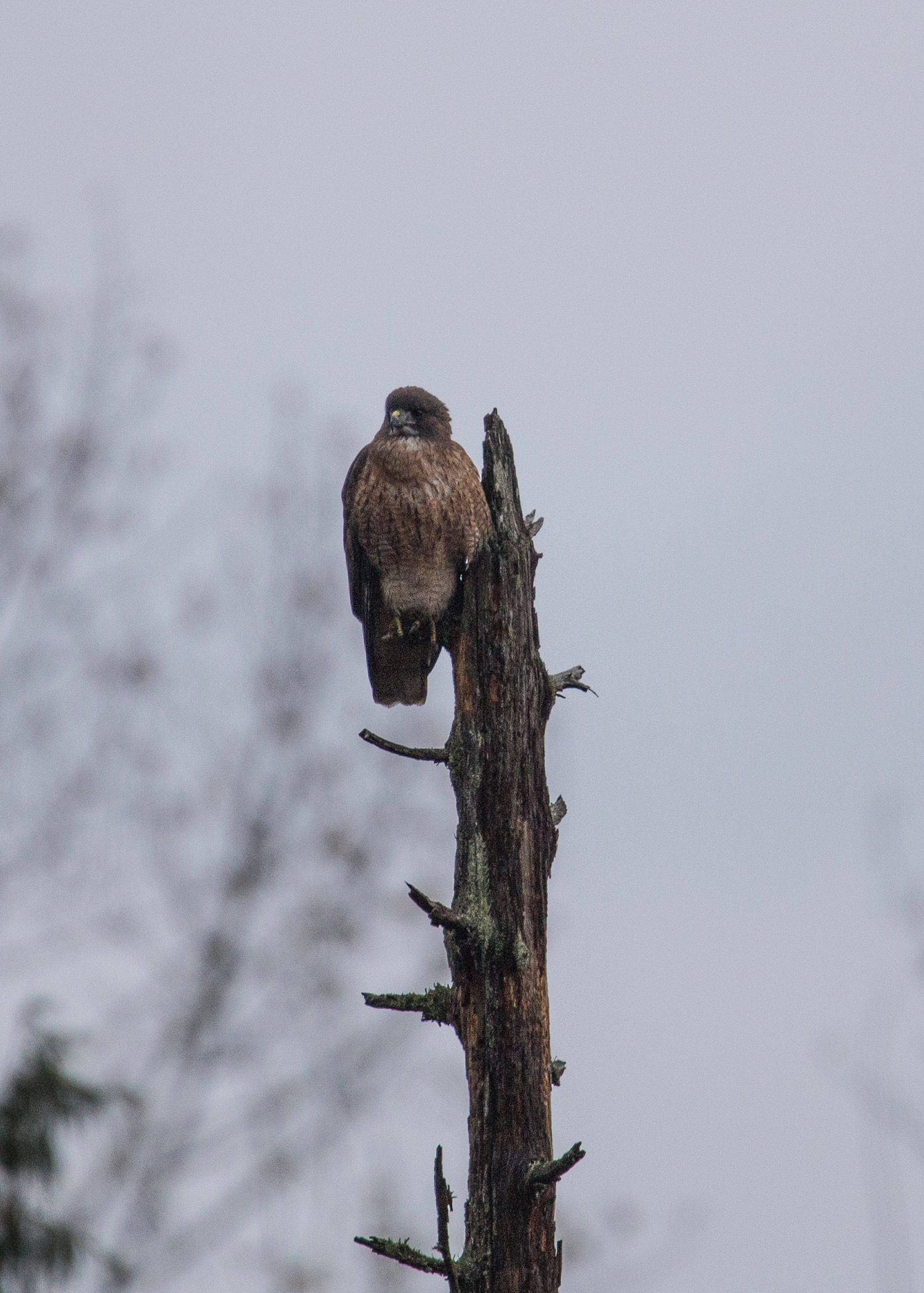 I think it's a redtailed hawk, but I'm not 100% certain.
