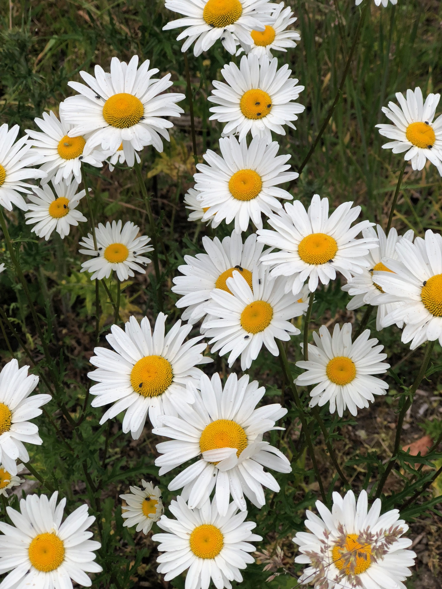 Justine was particularly excited by the big bunches of daisies growing wild across the lot.