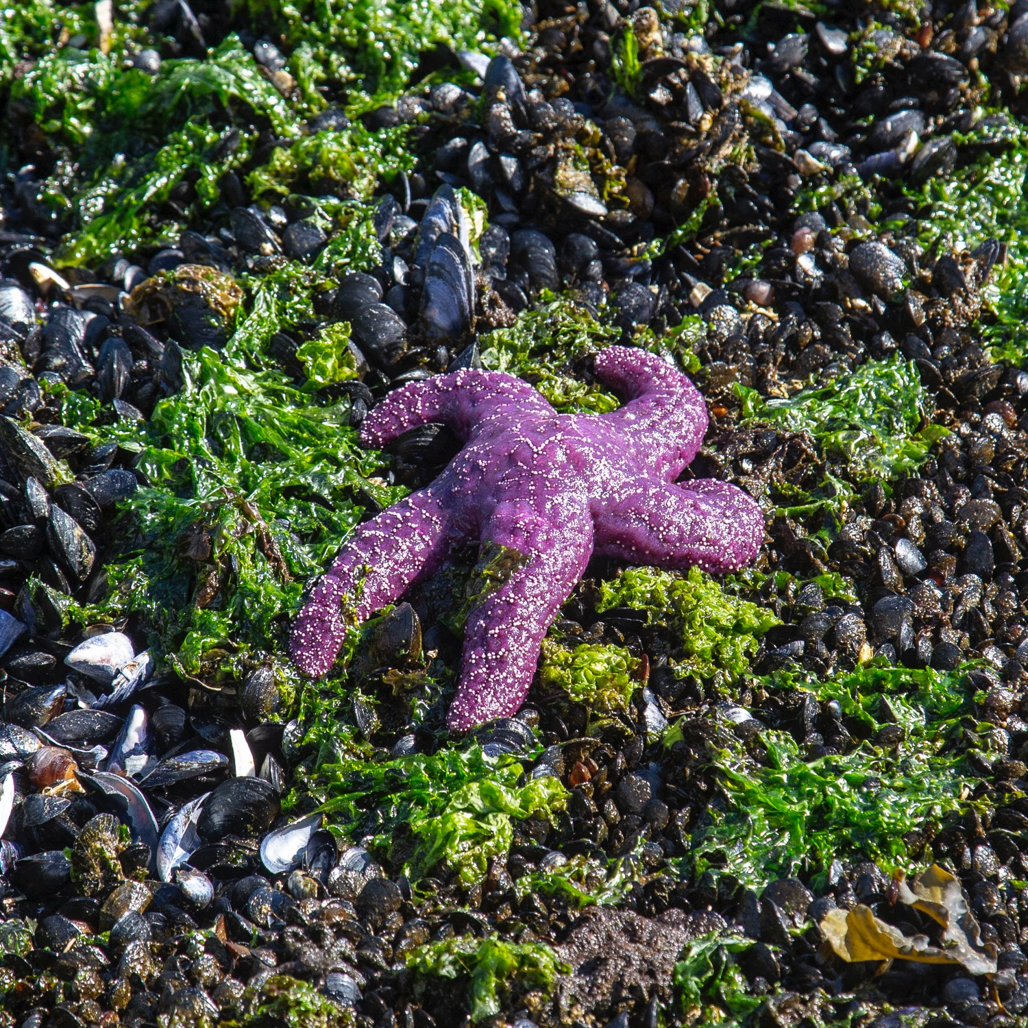 Exploring the tidal pools. The tide was way out, and this purple sea star was sitting up on the rocks