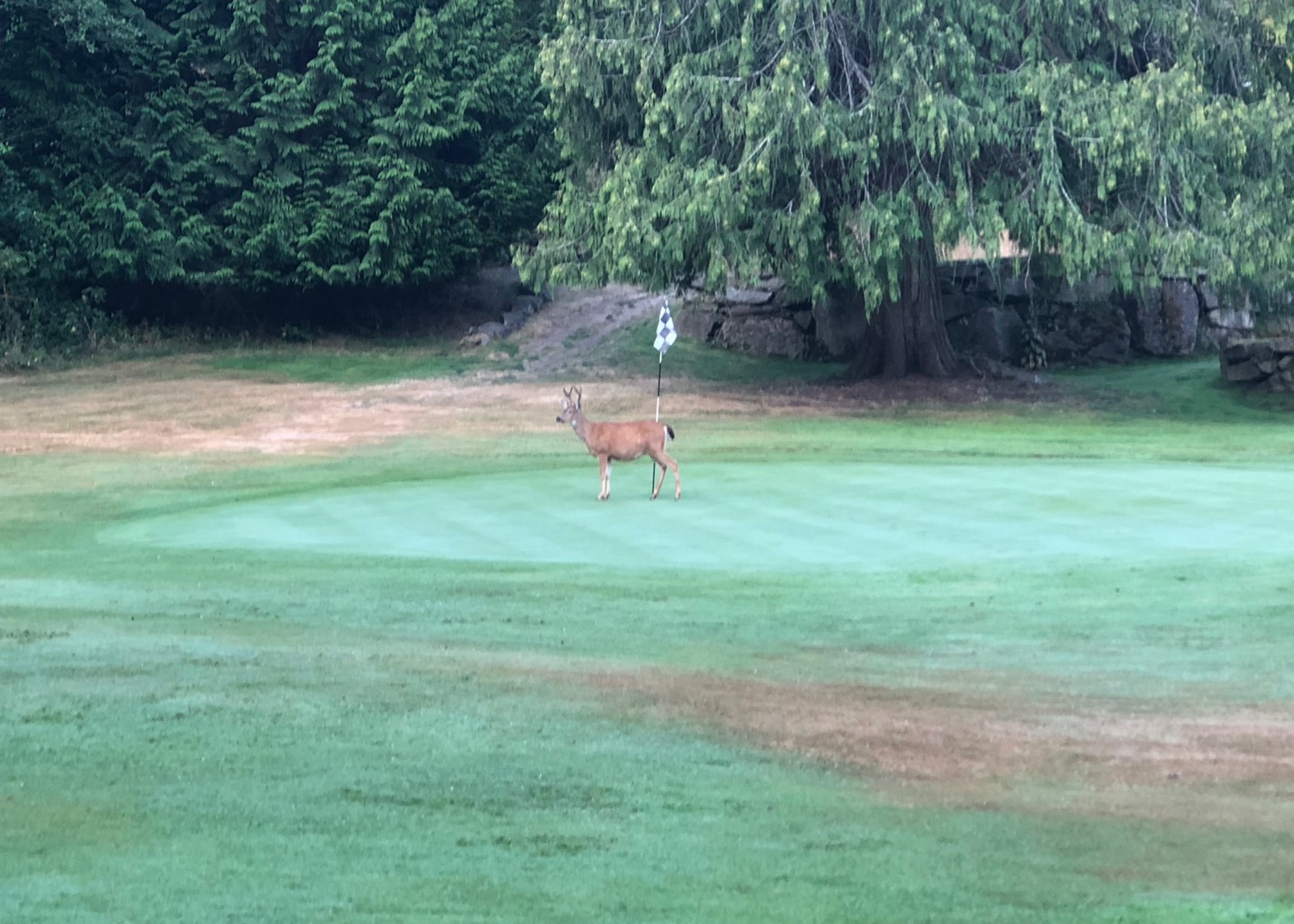 I was playing the second hole, and the buck from the parking lot ran straight at me! He got within about 20' before veering off and wandering over to the 5th green to hang out.