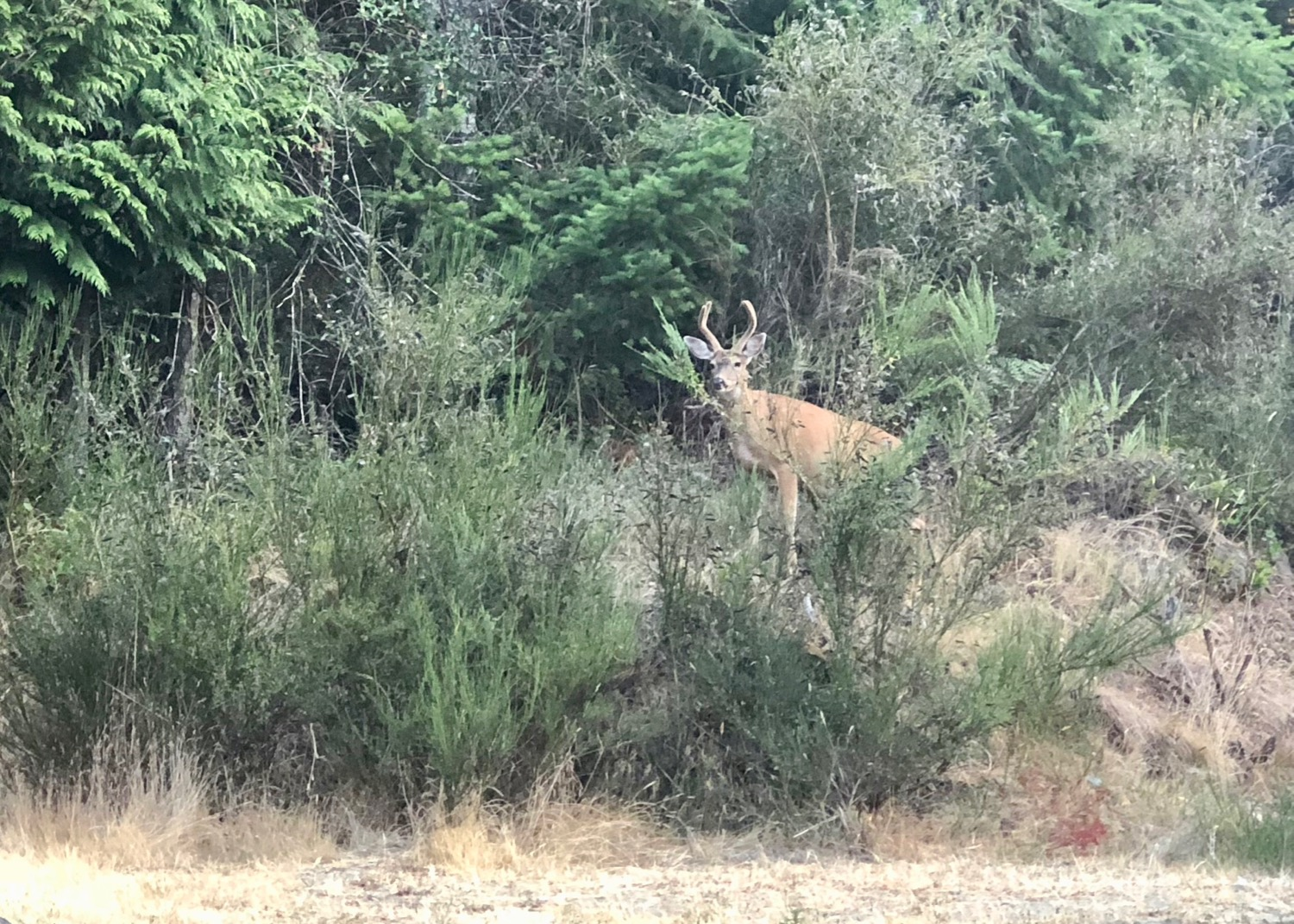 This little buck was right at the front entrance to the golf course - no fear at all.
