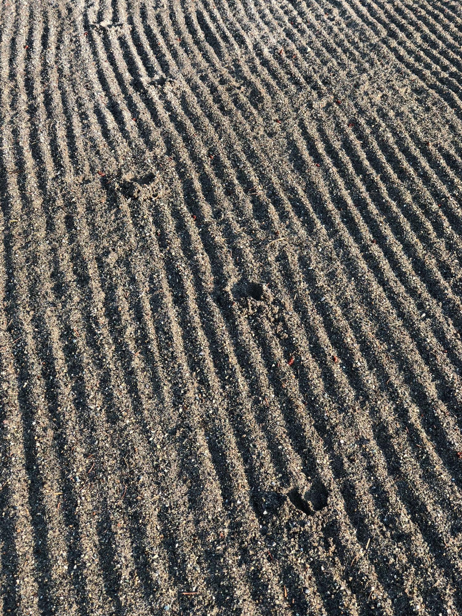 Deer tracks in the sand trap. Do they not train these deer to use the rake?