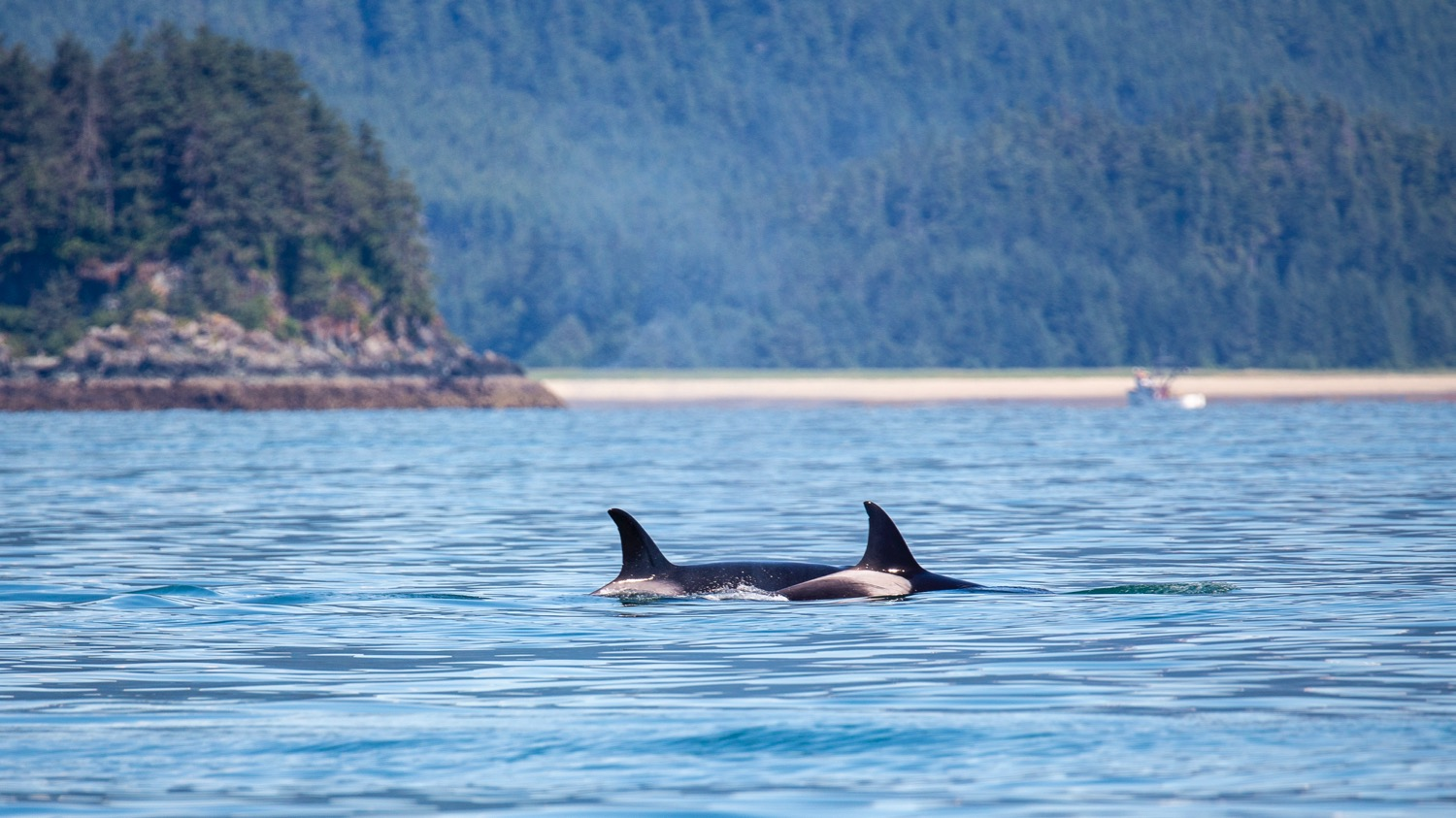 Orcas on the hunt.