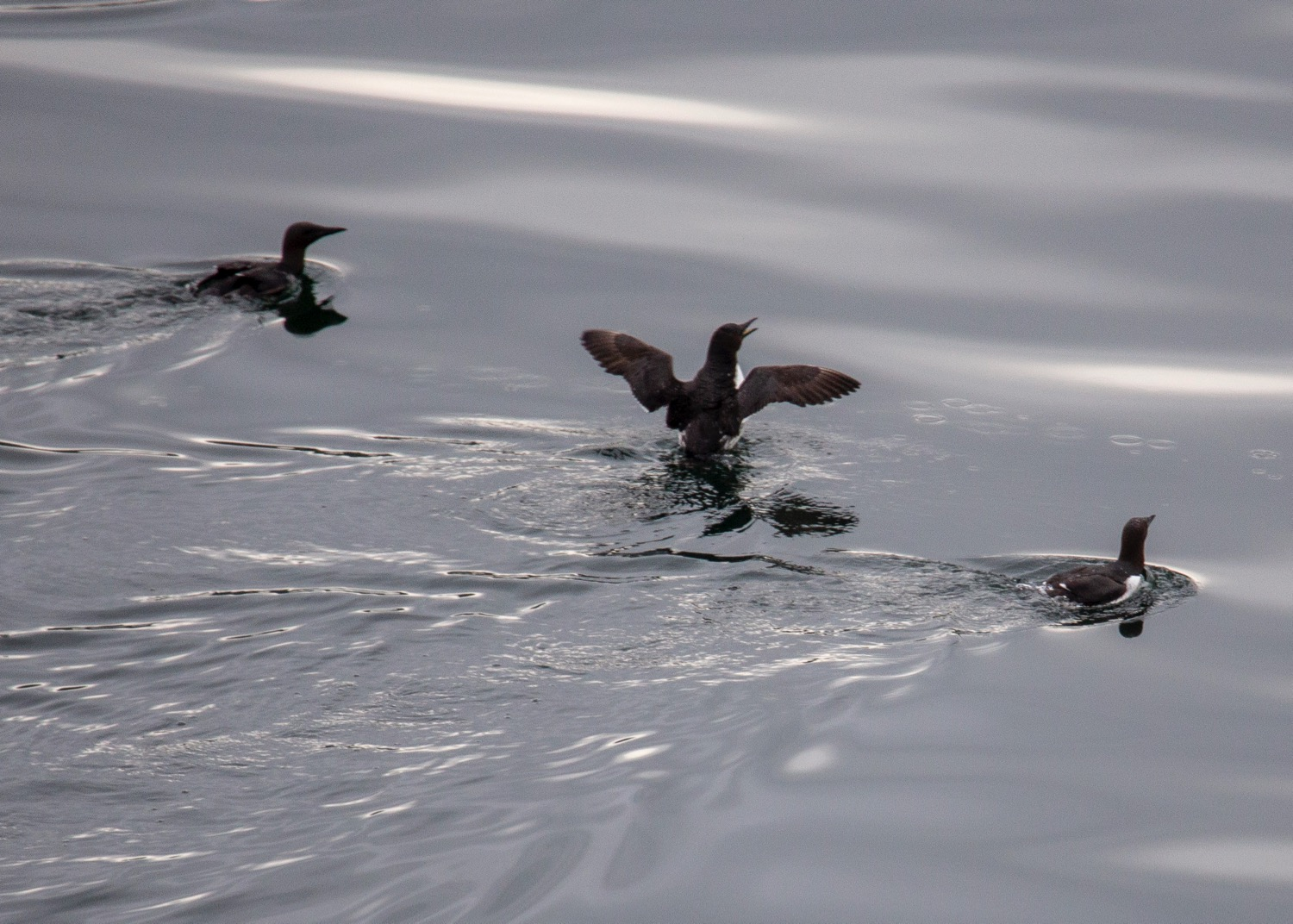 Common murres on the water