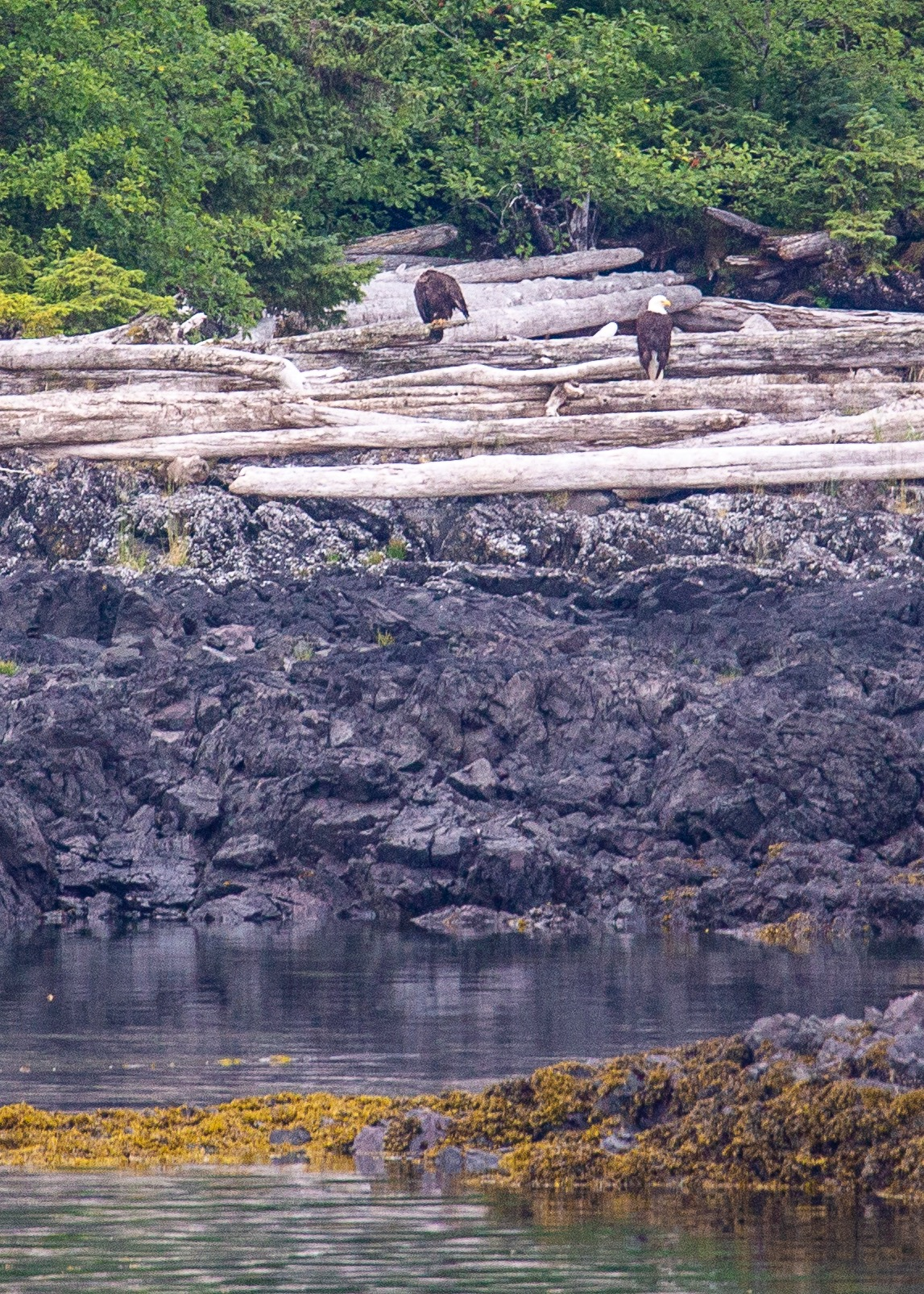 Bald eagles on the shore.