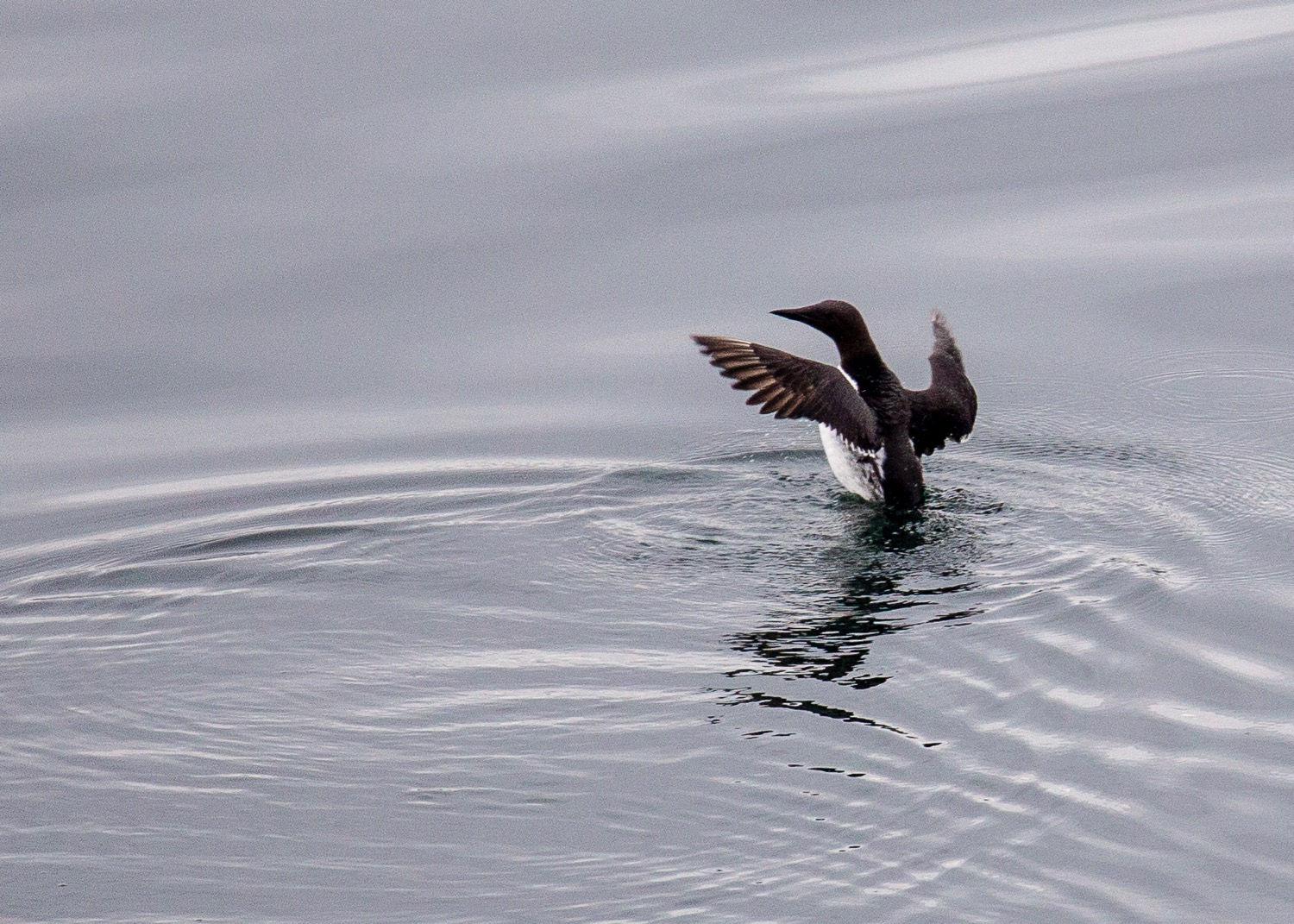 A common murre, about to take flight
