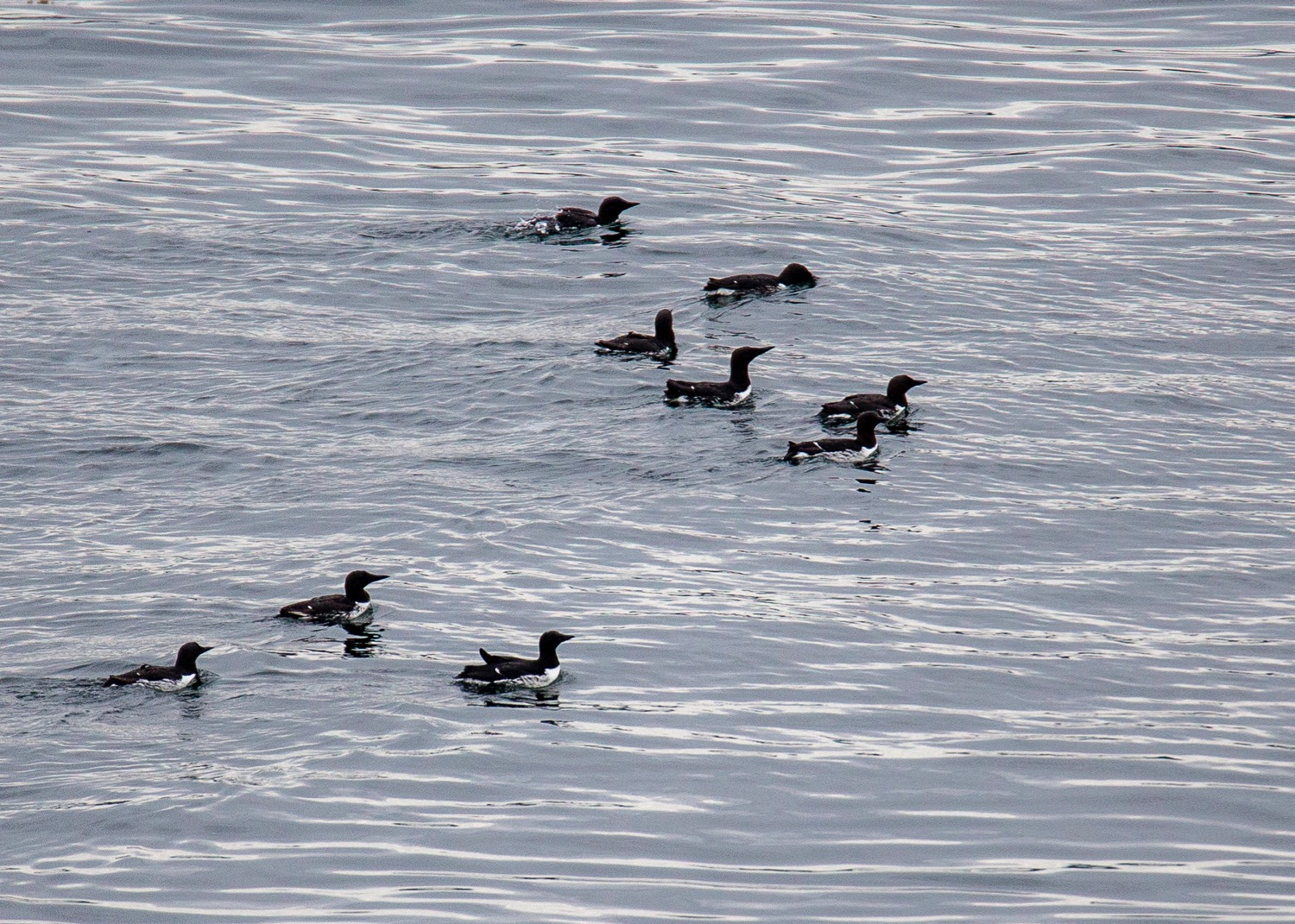 More common murres