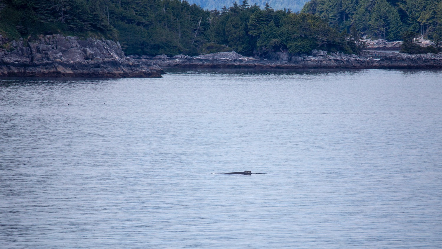 Early on in the day we saw a couple of long humpbacks as the ship cruised by.