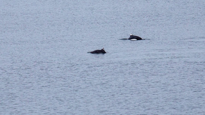 Some more Dall's Porpoises.