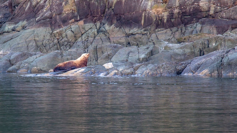 A big male sea lion, sitting on the rocks.