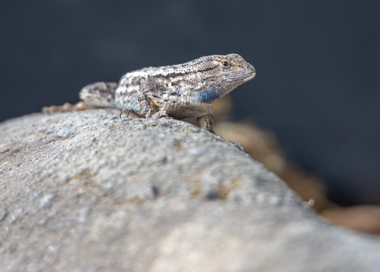 This little guys was hanging out around the campsite. From what I can tell, its a juvenile Western Fence lizard. He (?) made an appearance many times throughout the days at the campground.