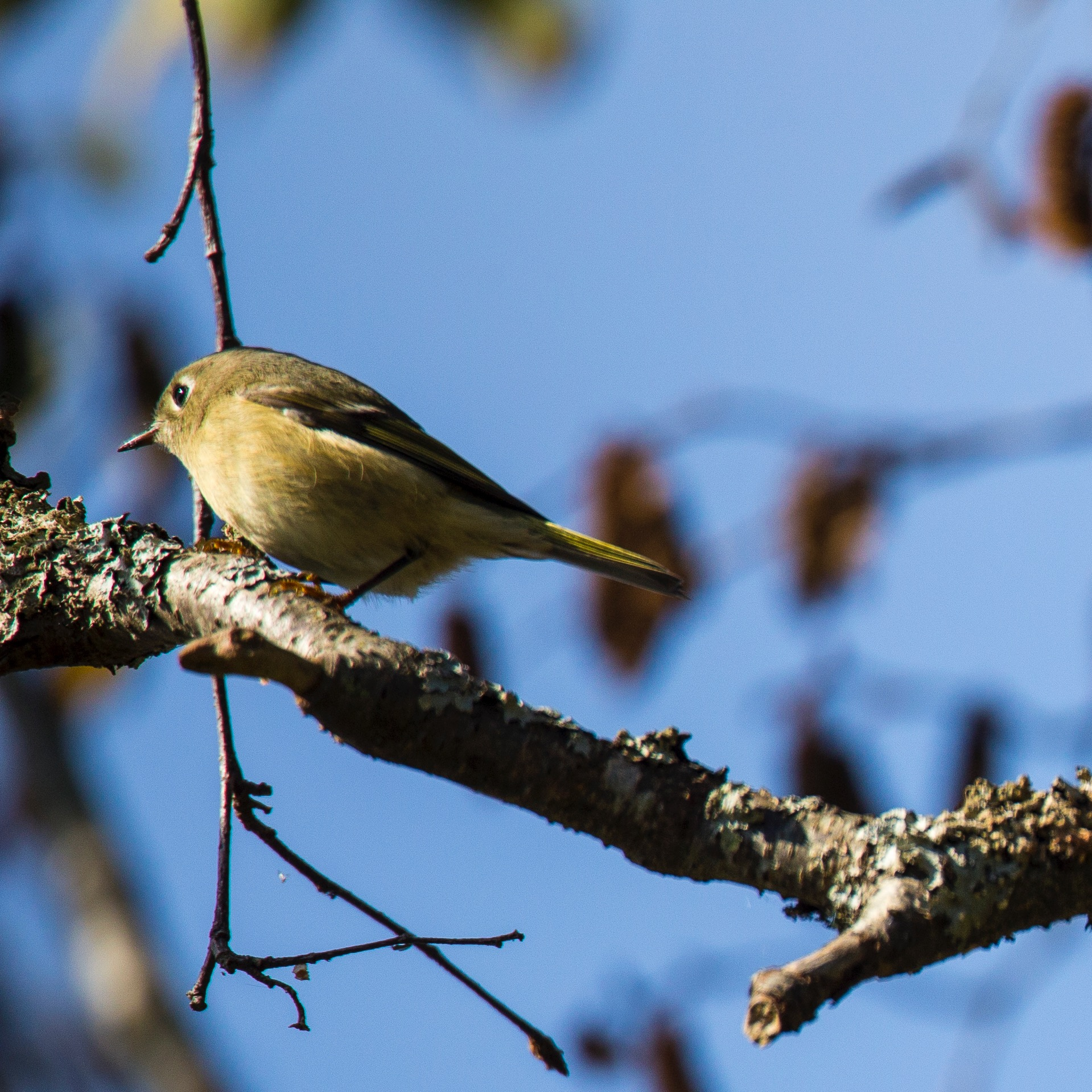 I think it's a Ruby-crowned Kinglet